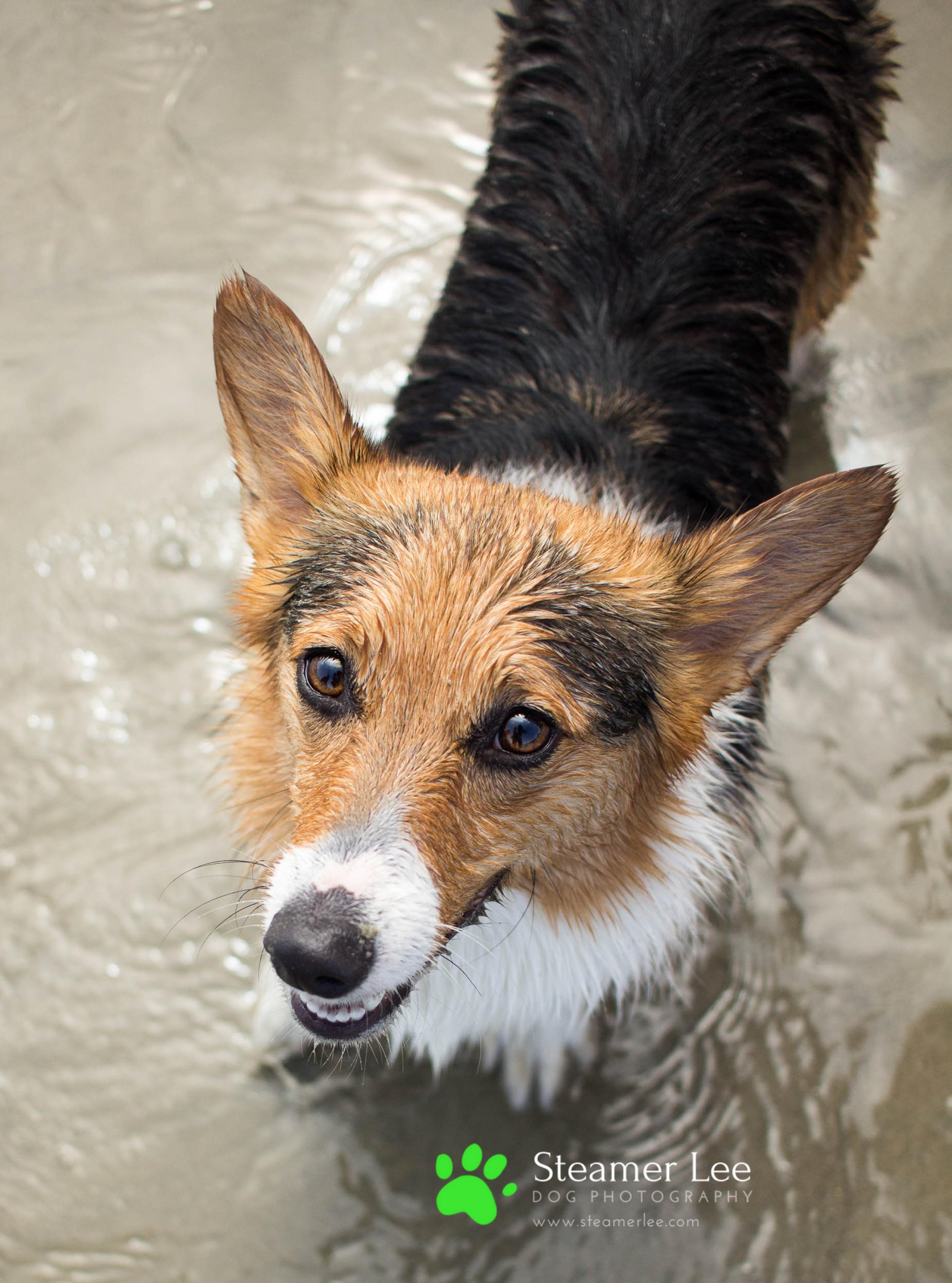 Steamer Lee Dog Photography - July 2017 So Cal Corgi Beach Day - Vol. 3 - 19.jpg