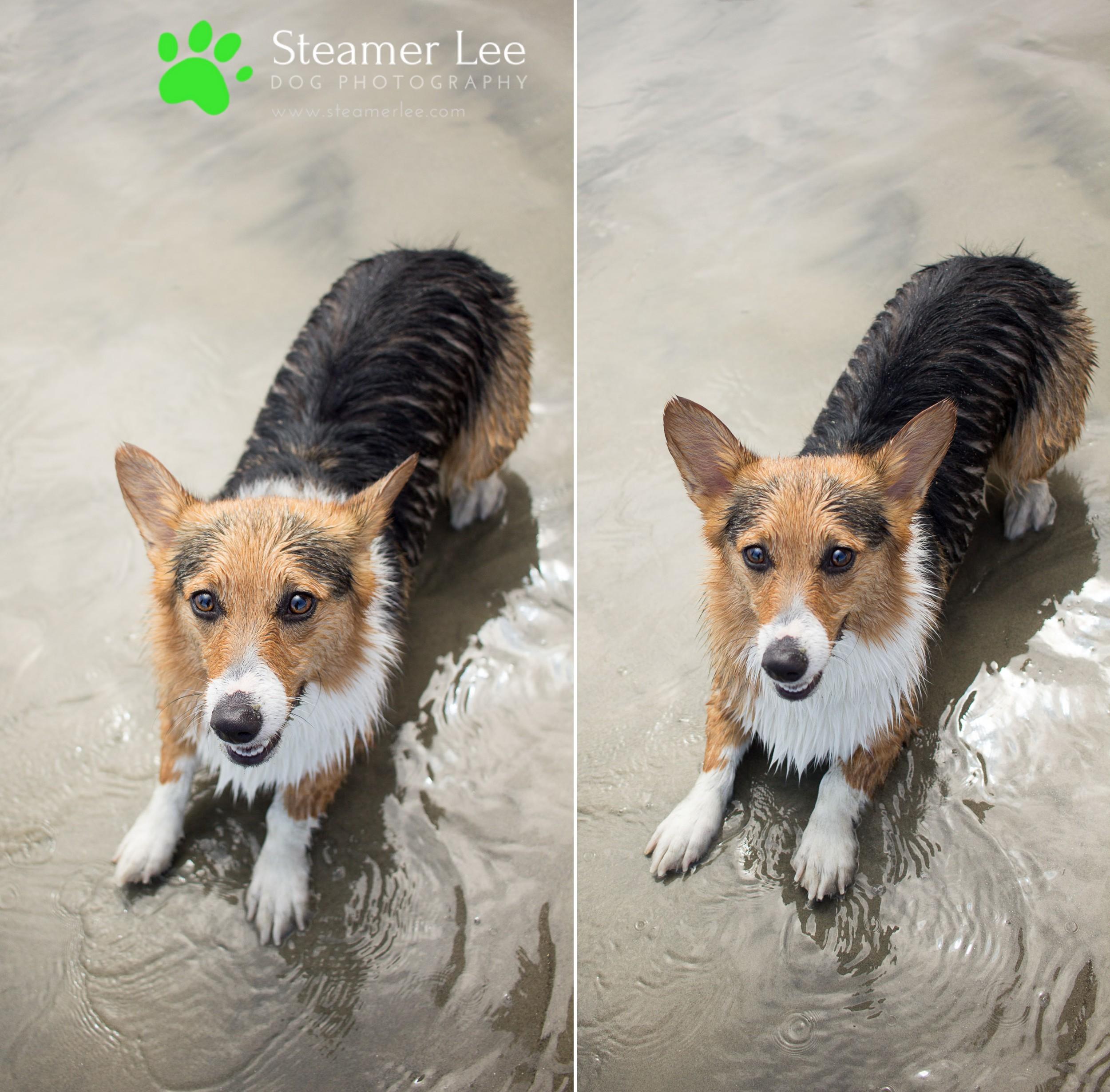 Steamer Lee Dog Photography - July 2017 So Cal Corgi Beach Day - Vol. 3 - 20.jpg