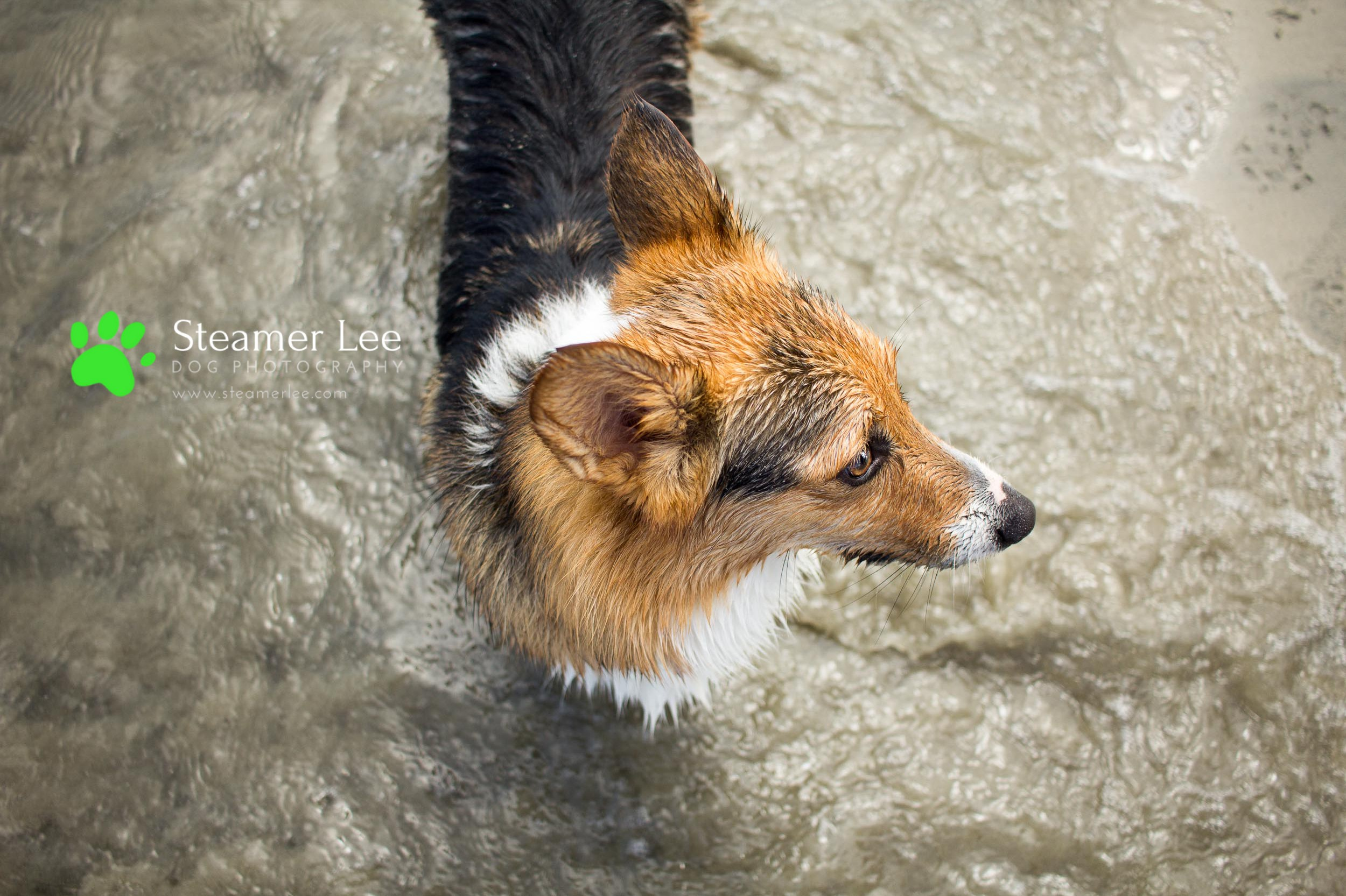 Steamer Lee Dog Photography - July 2017 So Cal Corgi Beach Day - Vol. 3 - 18.jpg