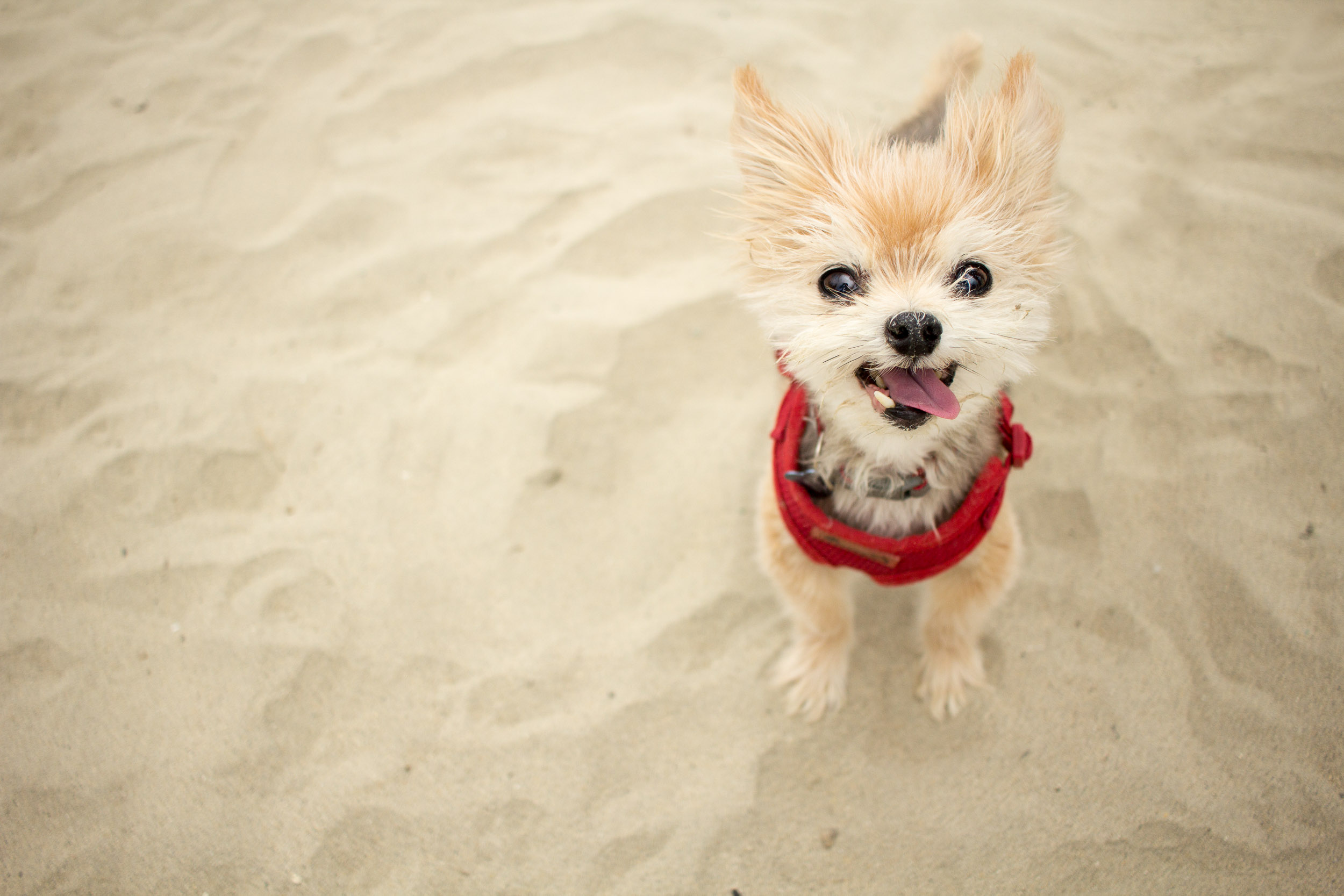 Honorable Corgis of the Day - Photographic Collections of Honorable Corgis at Corgi Beach Day