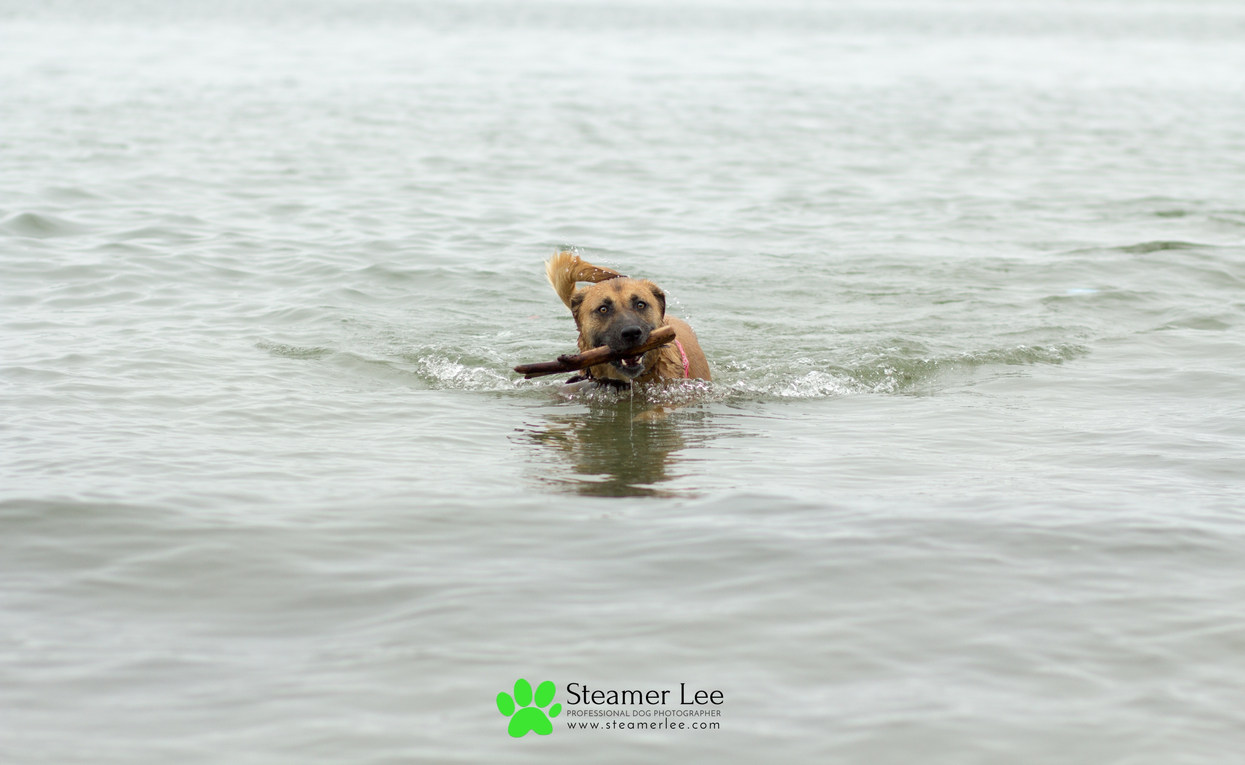 Steamer Lee Dog Photography 6.jpg