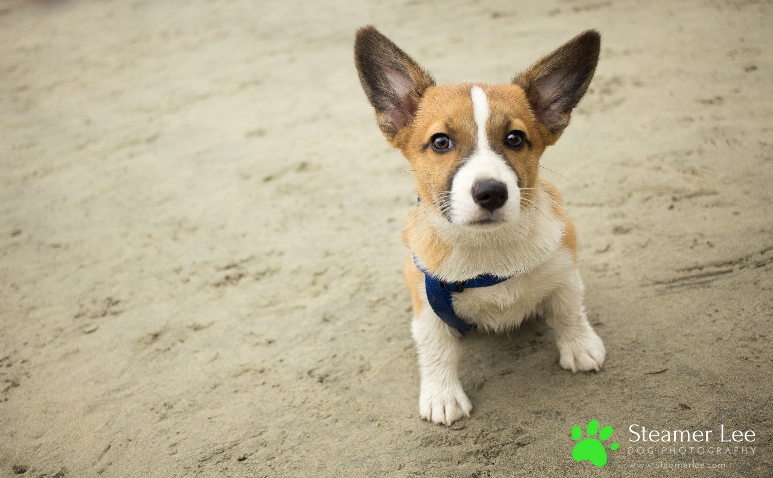 So Cal Corgi Beach Day (Vol. 1) - July 2017