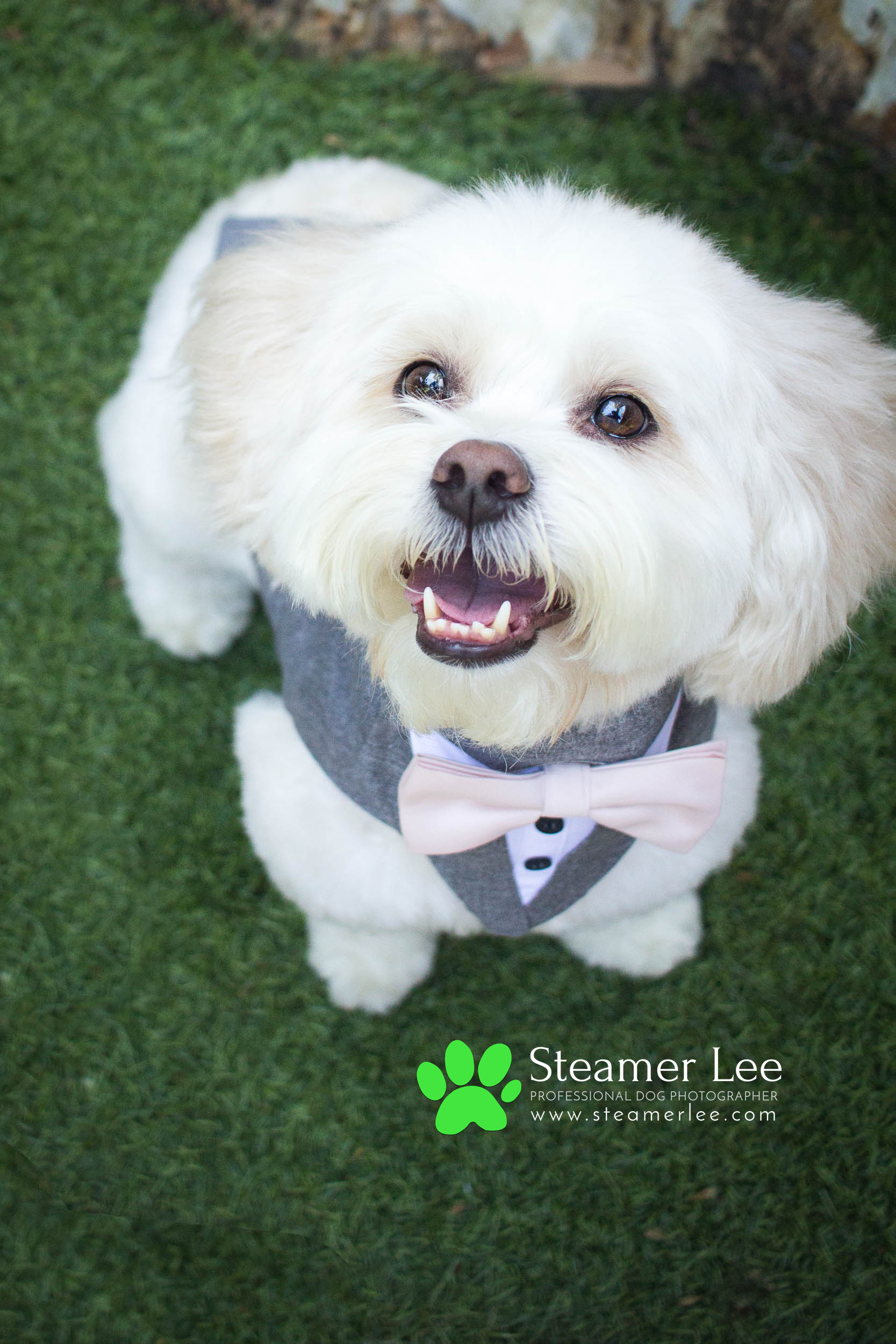 Steamer Lee - Dog Photography - Shihpoo - Charly - 7.jpg