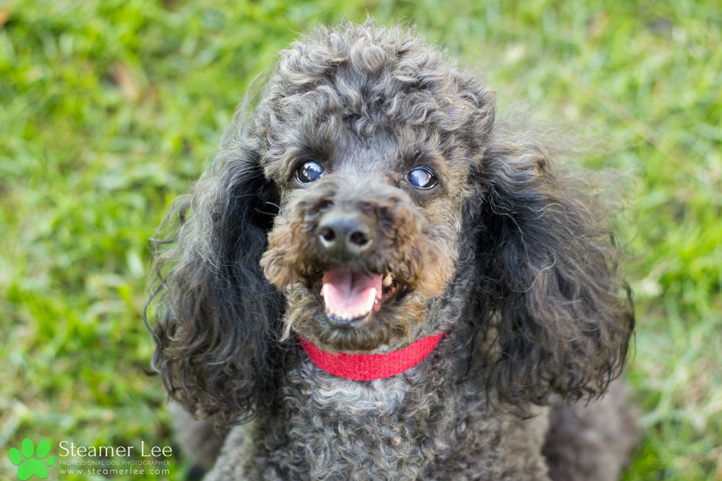 004 Steamer Lee Dog Photography - Orange County Dog Photography - German Shepherd Rottweiler Mix_Poodle.JPG