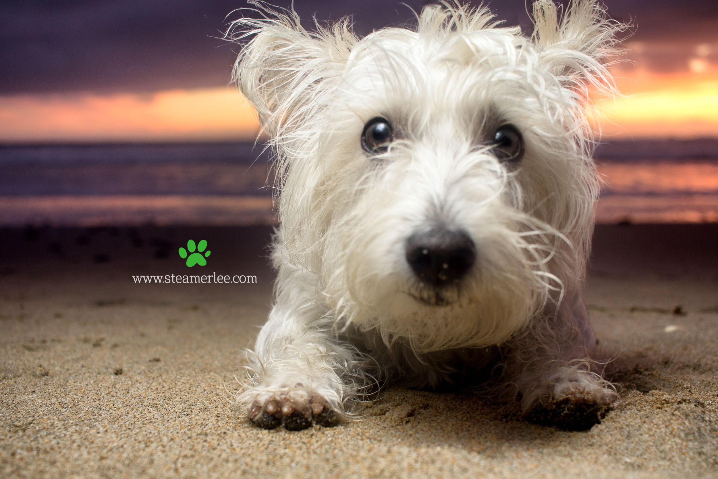 Steamer Lee Dog Photography - Westie Schnauzer Mix Maya 01.JPG