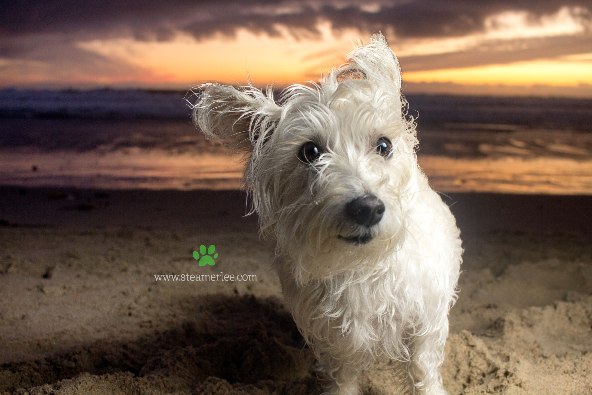 Steamer Lee Dog Photography - Westie Schnauzer Mix Maya 03.JPG
