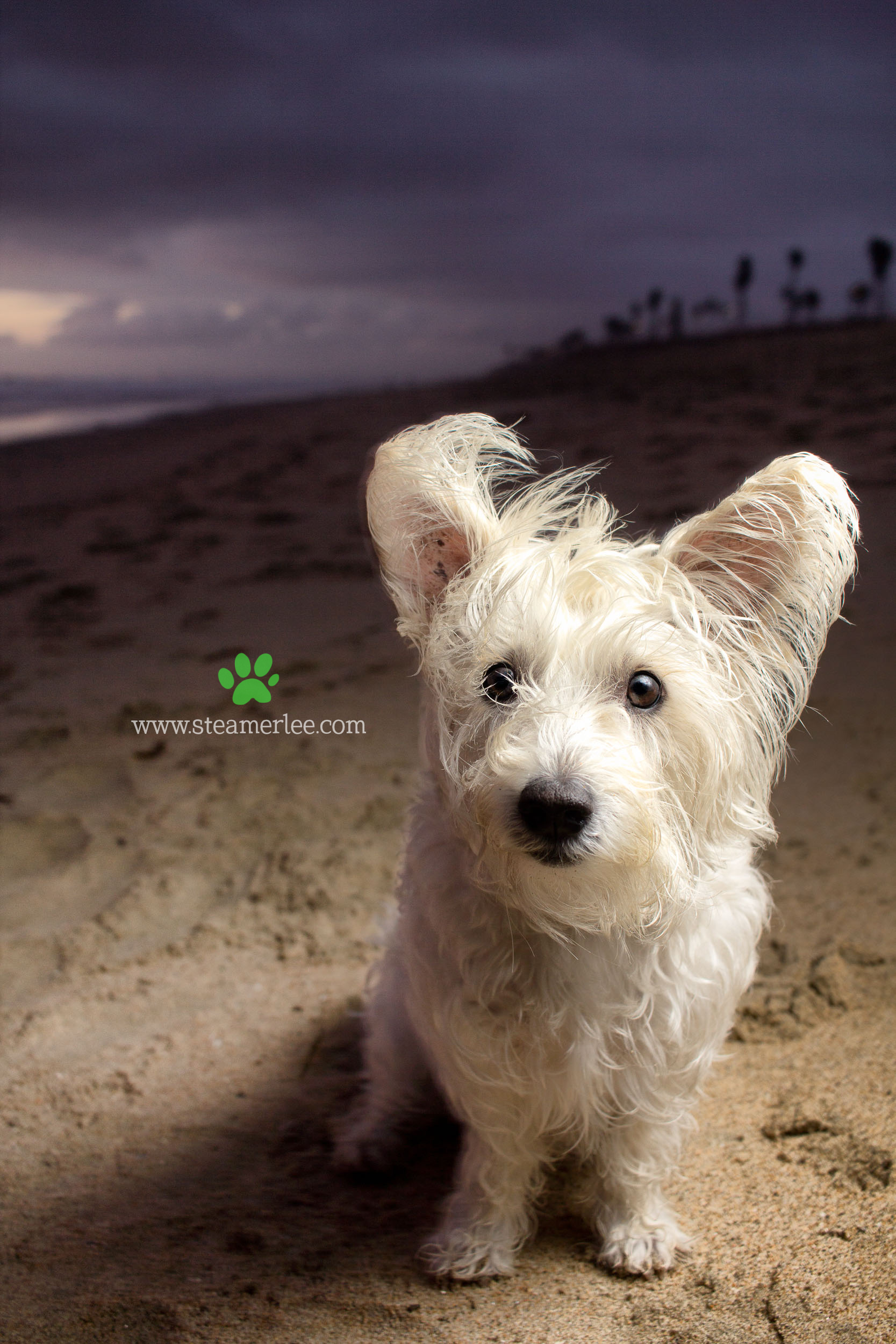 Steamer Lee Dog Photography - Westie Schnauzer Mix Maya 08.JPG
