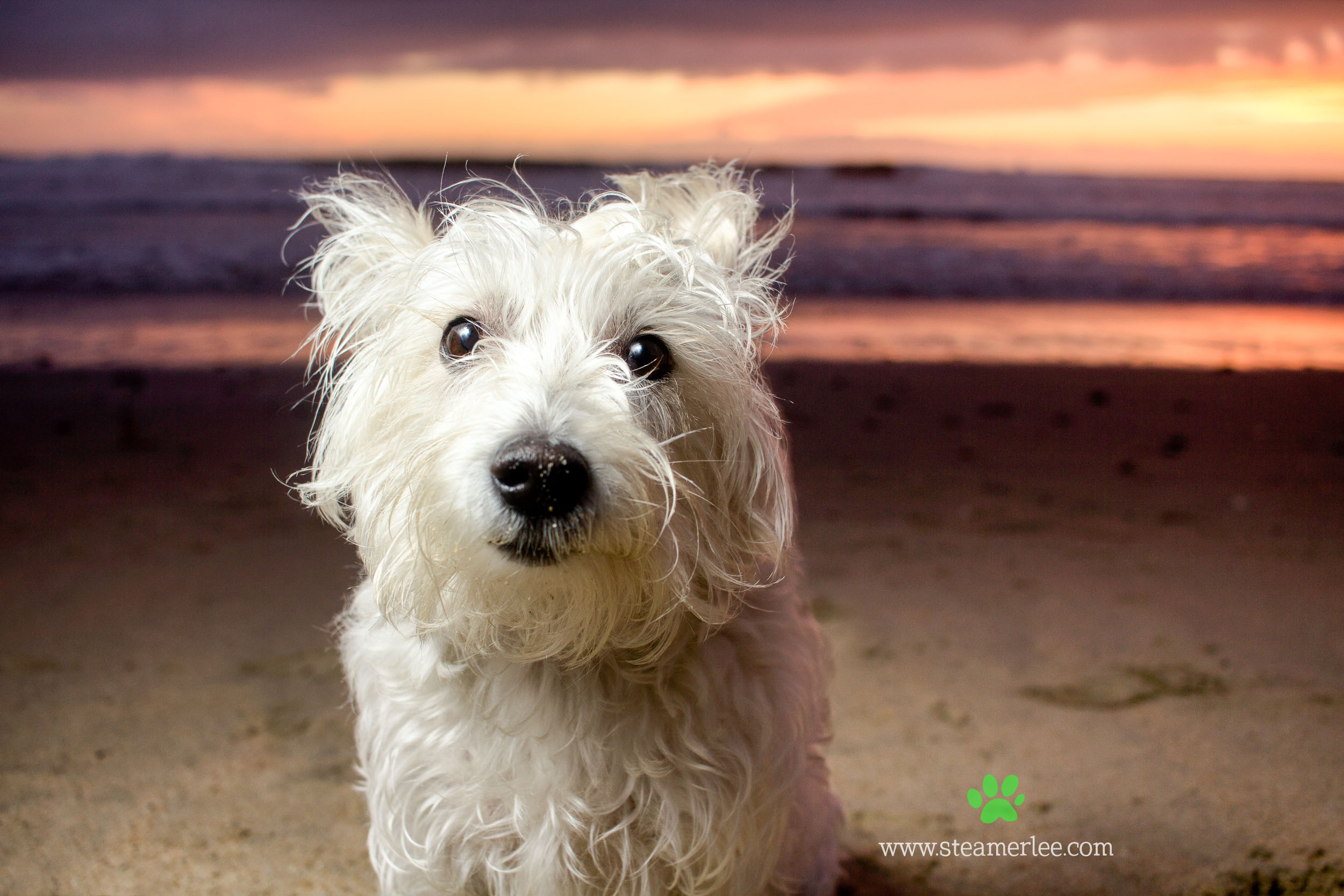 Steamer Lee Dog Photography - Westie Schnauzer Mix Maya 12.JPG