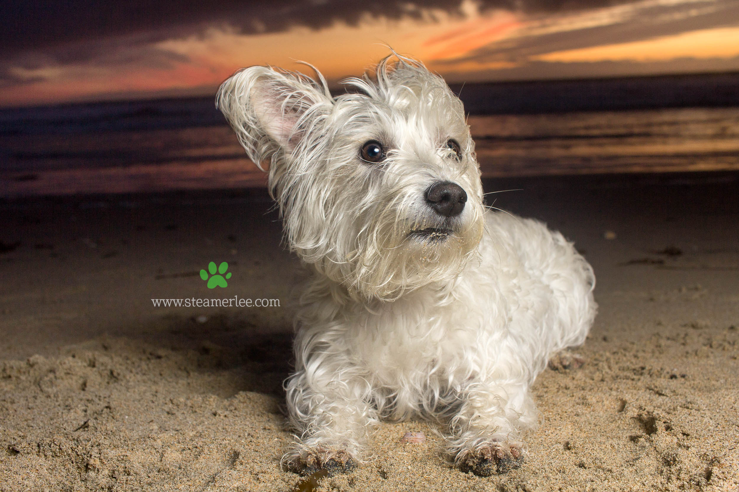 Steamer Lee Dog Photography - Westie Schnauzer Mix Maya 13.JPG