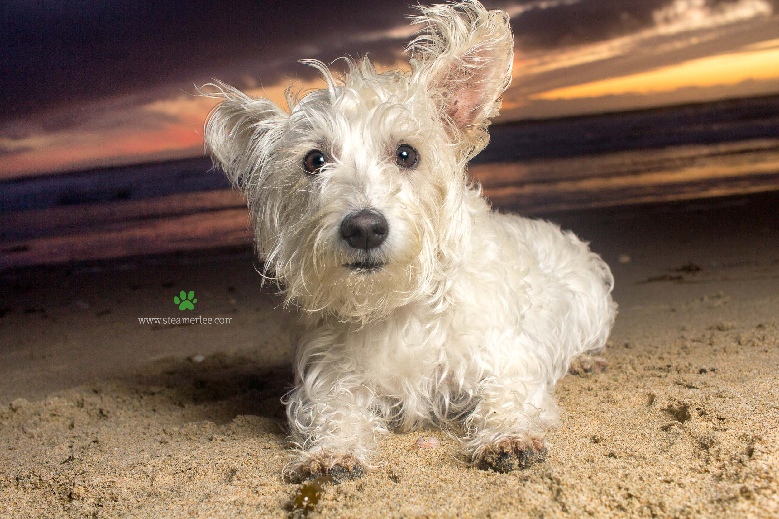 Steamer Lee Dog Photography - Westie Schnauzer Mix Maya 14.JPG