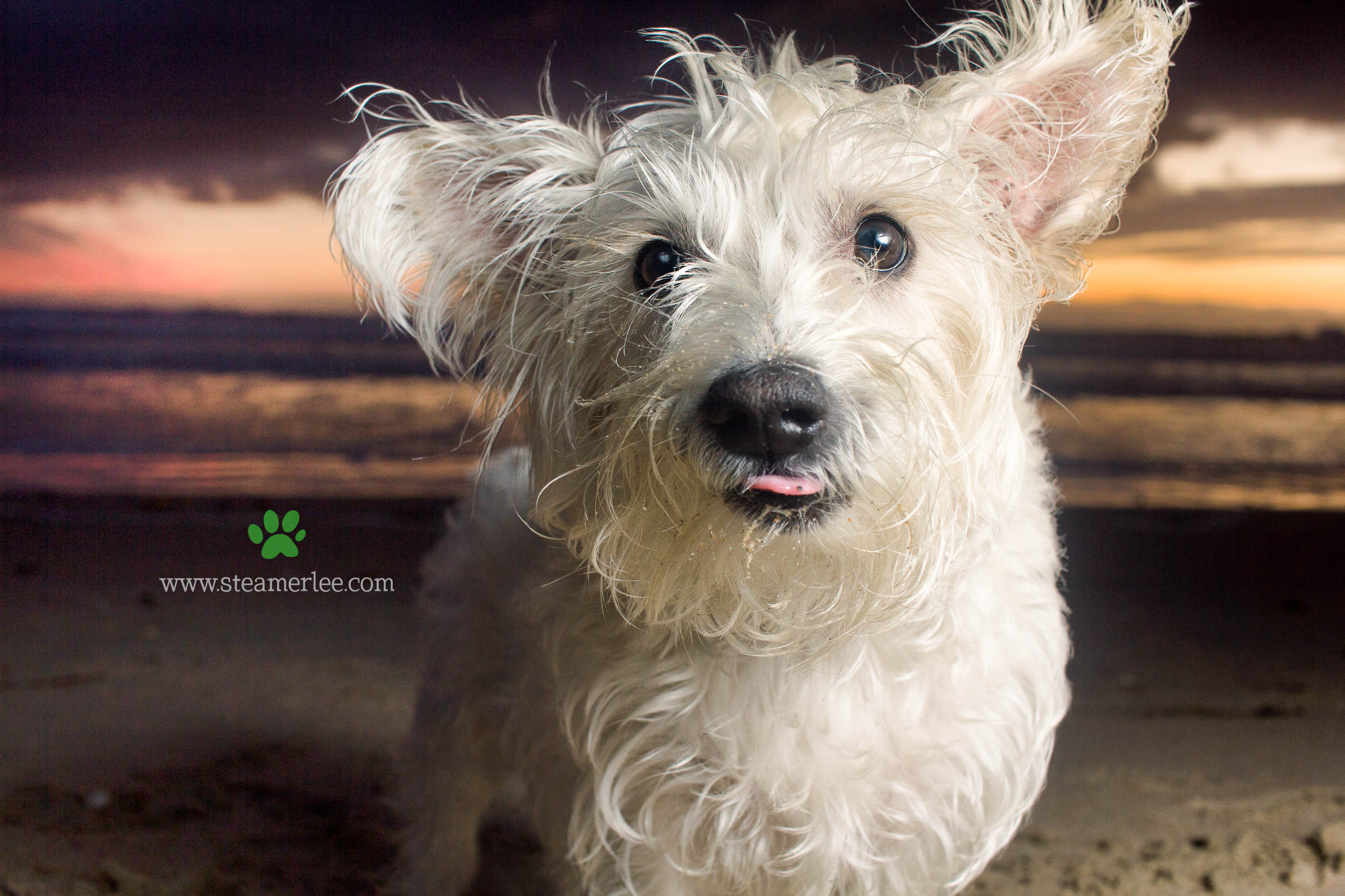 Steamer Lee Dog Photography - Westie Schnauzer Mix Maya 21.JPG