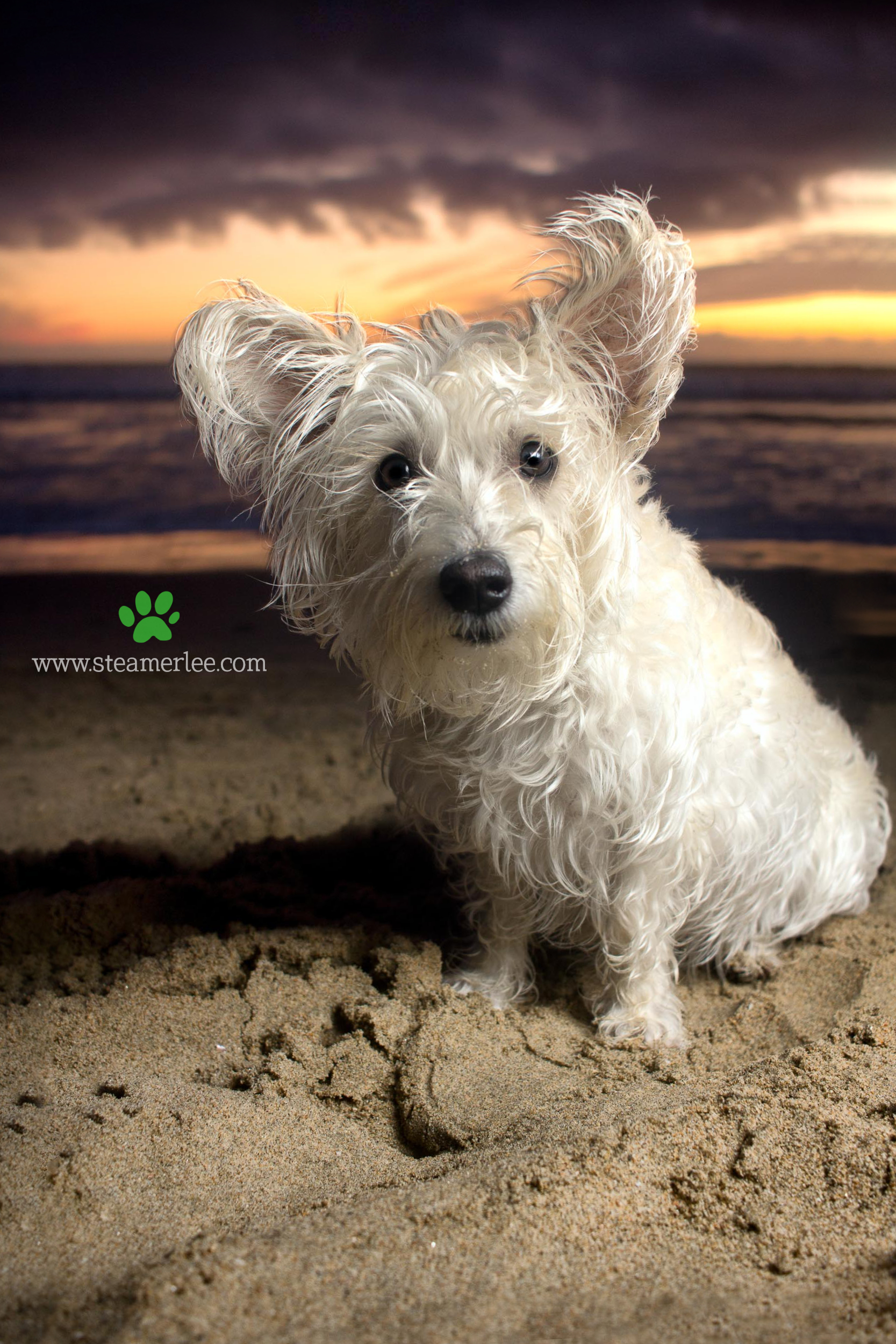 Steamer Lee Dog Photography - Westie Schnauzer Mix Maya 18.JPG