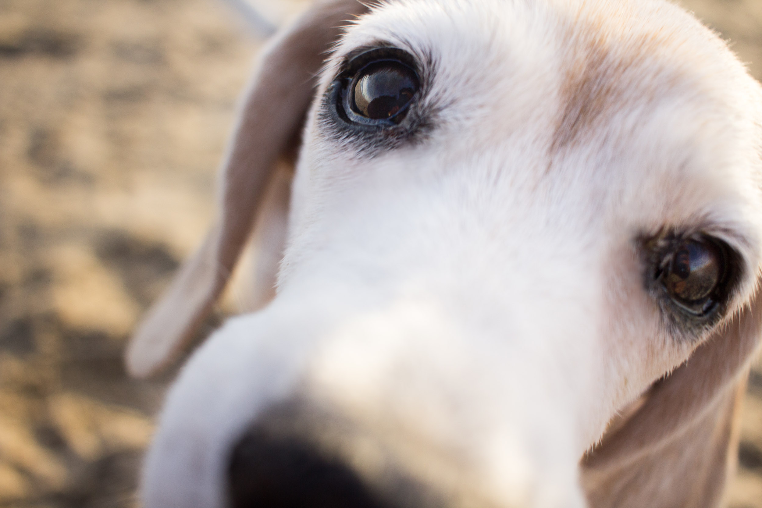 I'm a sucker for close-ups portraits of dogs. They instantly make me feel like I'm looking straight into their eyes, and I can hear the little *sniff-sniff-sniff-sniff* sound that dogs make when they curiously come up to you like this. Besides, beagles are known for their powerful noses.