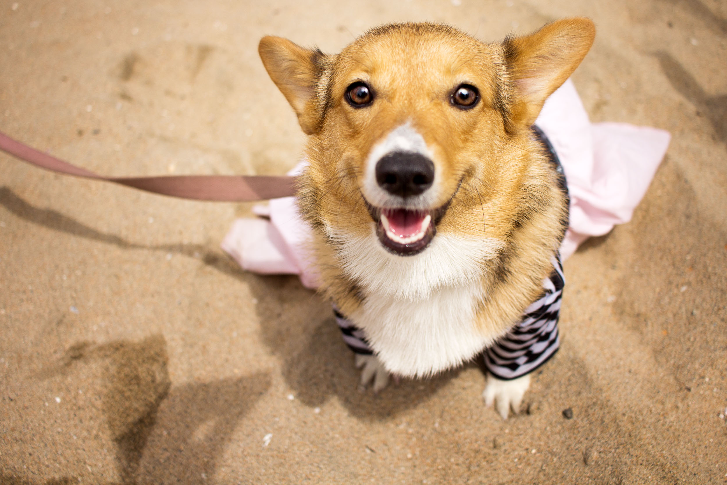Orange-County-Dog-Photography-Pet-Huntington-Dog-Beach-SoCal-Corgi-Beach-Day_Steamer-Lee_008.JPG
