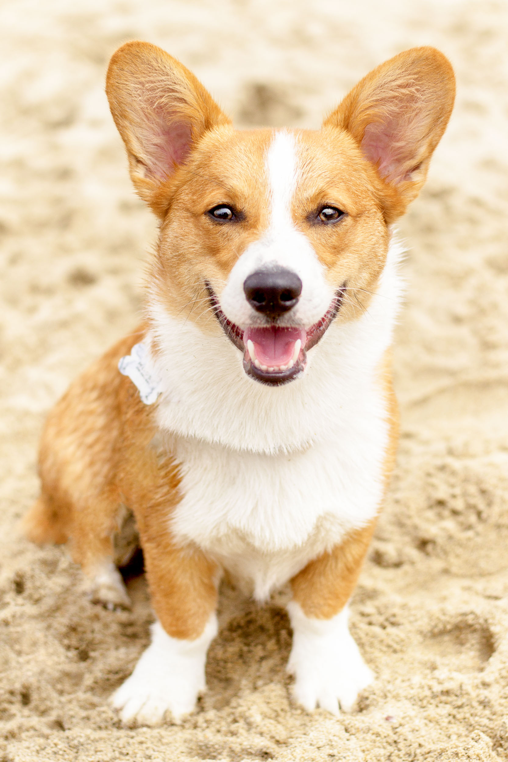 Orange-County-Dog-Photography-Pet-Huntington-Dog-Beach-SoCal-Corgi-Beach-Day_Steamer-Lee_012.JPG