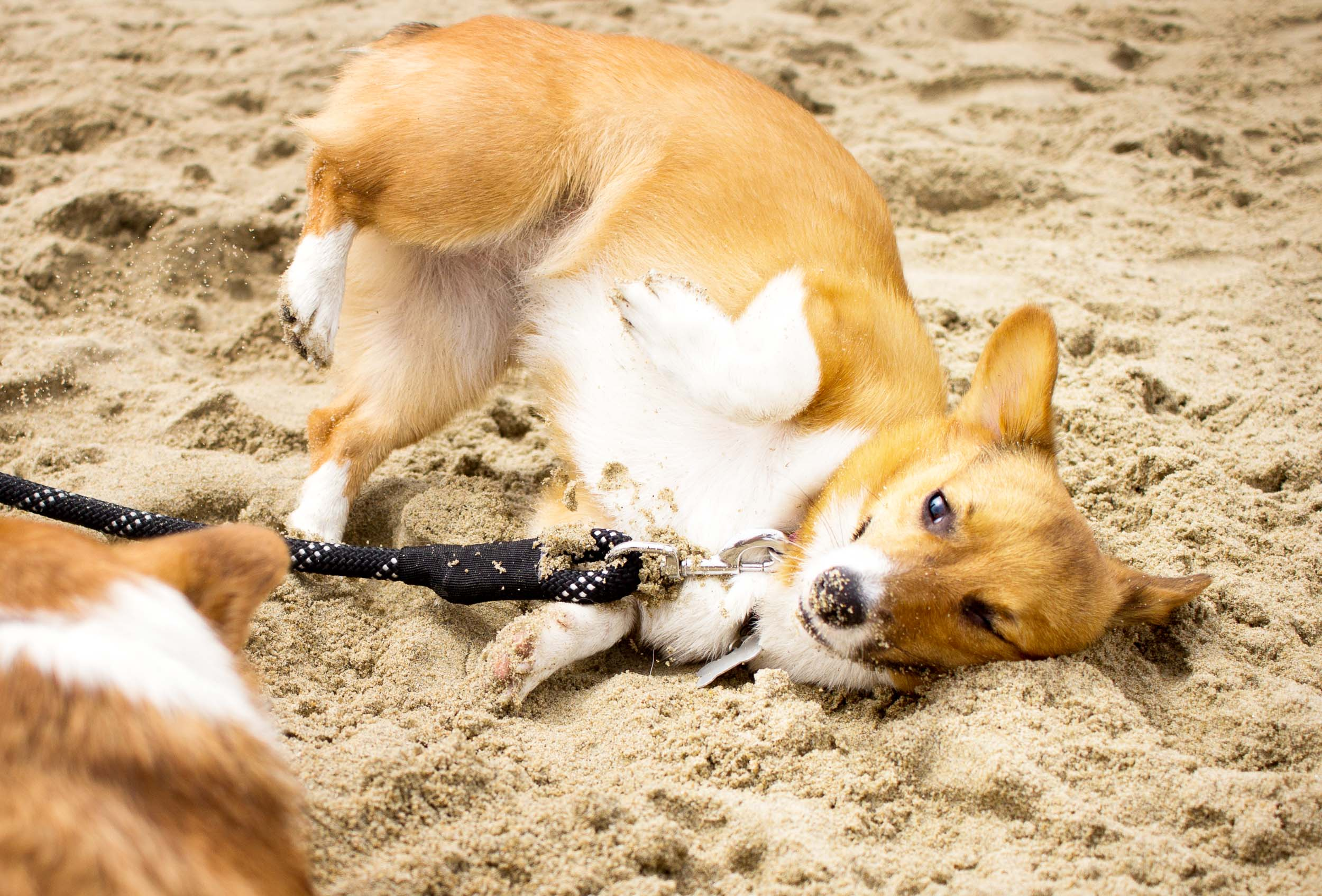 Orange-County-Dog-Photography-Pet-Huntington-Dog-Beach-SoCal-Corgi-Beach-Day_Steamer-Lee_015.JPG