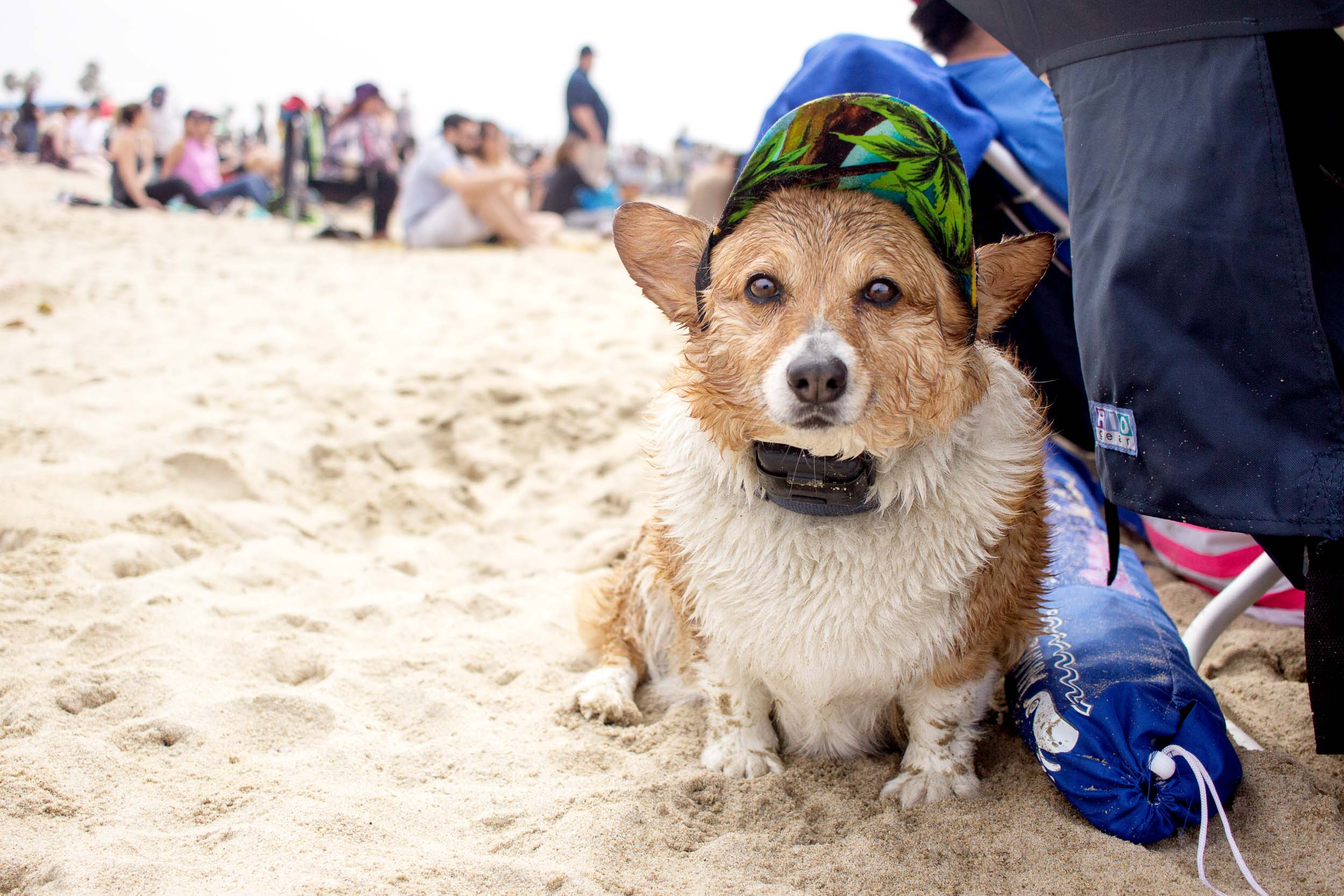 Orange-County-Dog-Photography-Pet-Huntington-Dog-Beach-SoCal-Corgi-Beach-Day_Steamer-Lee_016.JPG