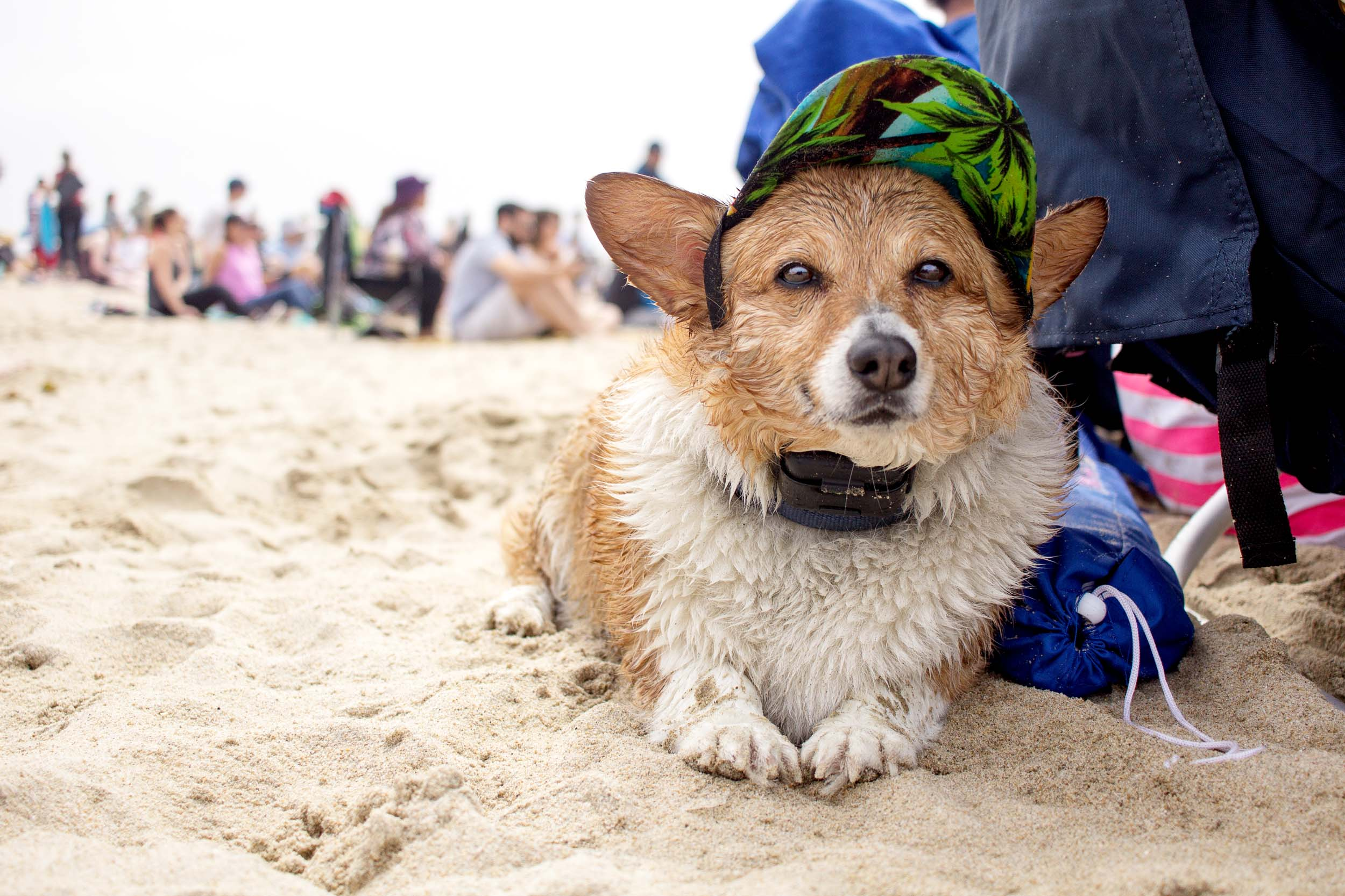 Orange-County-Dog-Photography-Pet-Huntington-Dog-Beach-SoCal-Corgi-Beach-Day_Steamer-Lee_017.JPG