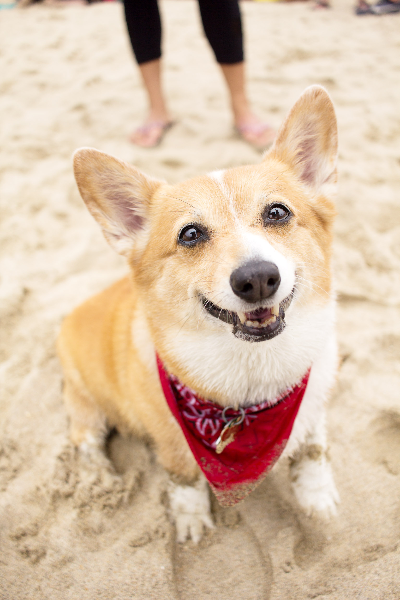 Orange-County-Dog-Photography-Pet-Huntington-Dog-Beach-SoCal-Corgi-Beach-Day_Steamer-Lee_031.JPG
