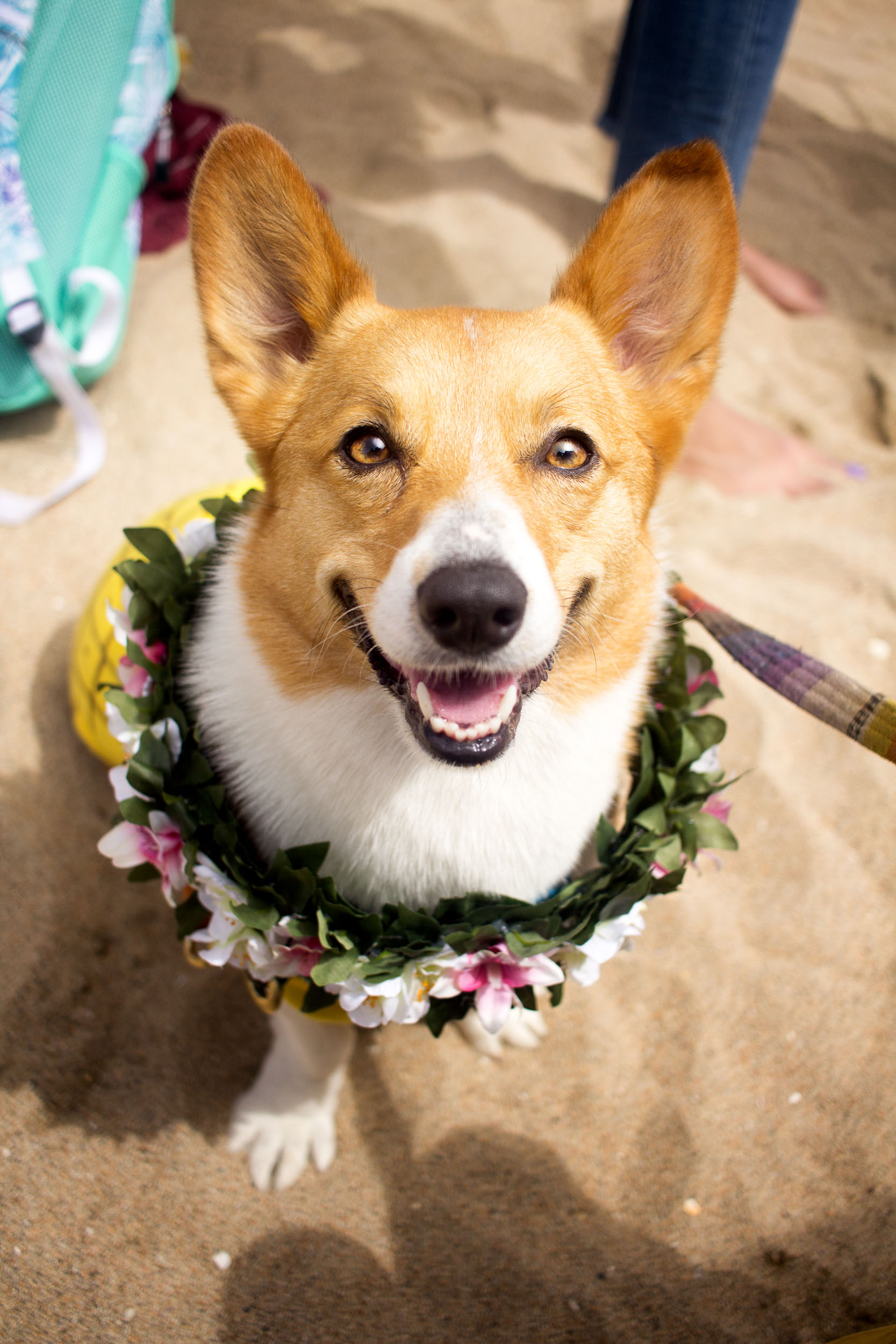 This one's Barley! I've also seen Barley and her partner-in-crime, Bubbles, every time I've been to Corgi Beach Day. They never fail to surprise us with their elaborate costumes! They were posing for pictures and selfies with the public all day, but here I got Barley taking a break in the 'Green Room' for a moment. You can follow Barley and Bubbles on Instagram  here .