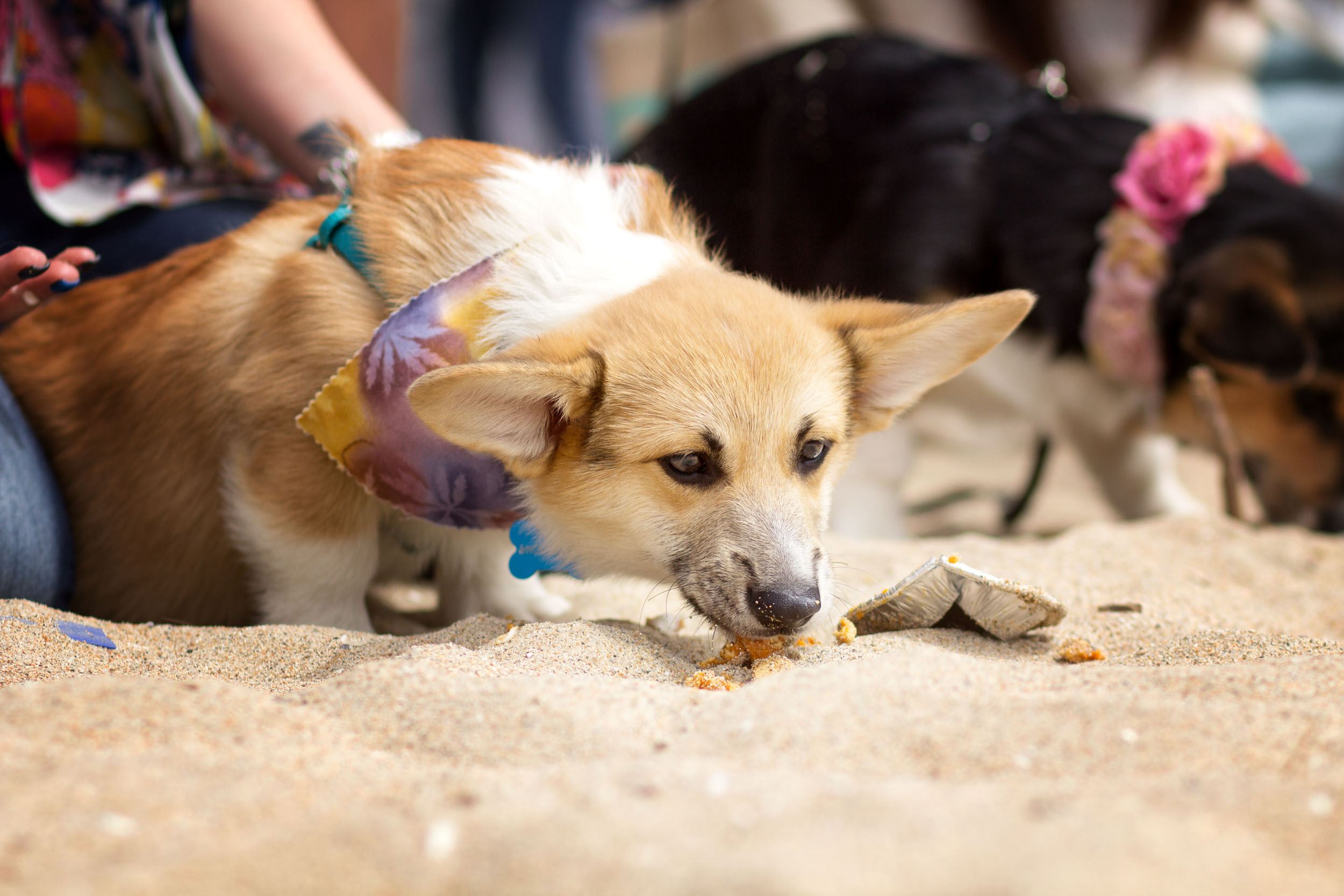 Orange-County-Dog-Photography-Pet-Huntington-Dog-Beach-SoCal-Corgi-Beach-Day_Steamer-Lee_036.JPG