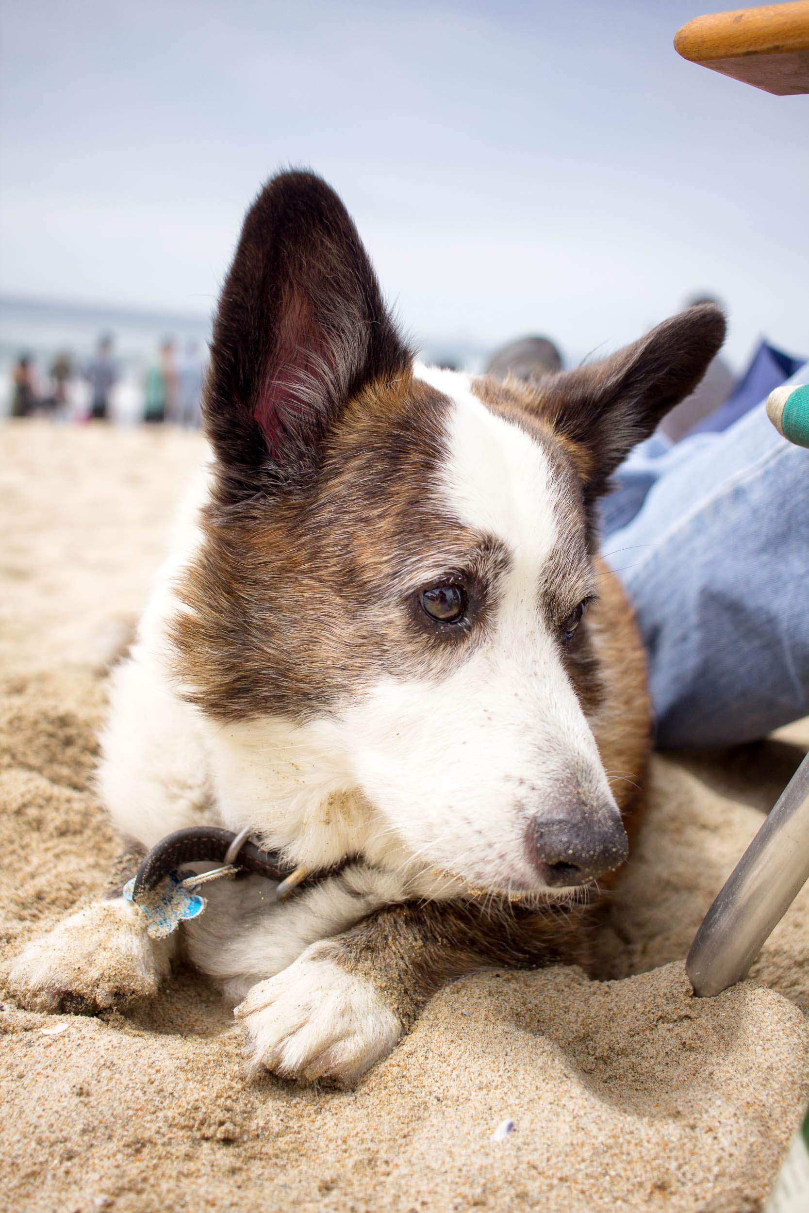 Orange-County-Dog-Photography-Pet-Huntington-Dog-Beach-SoCal-Corgi-Beach-Day_Steamer-Lee_045.JPG