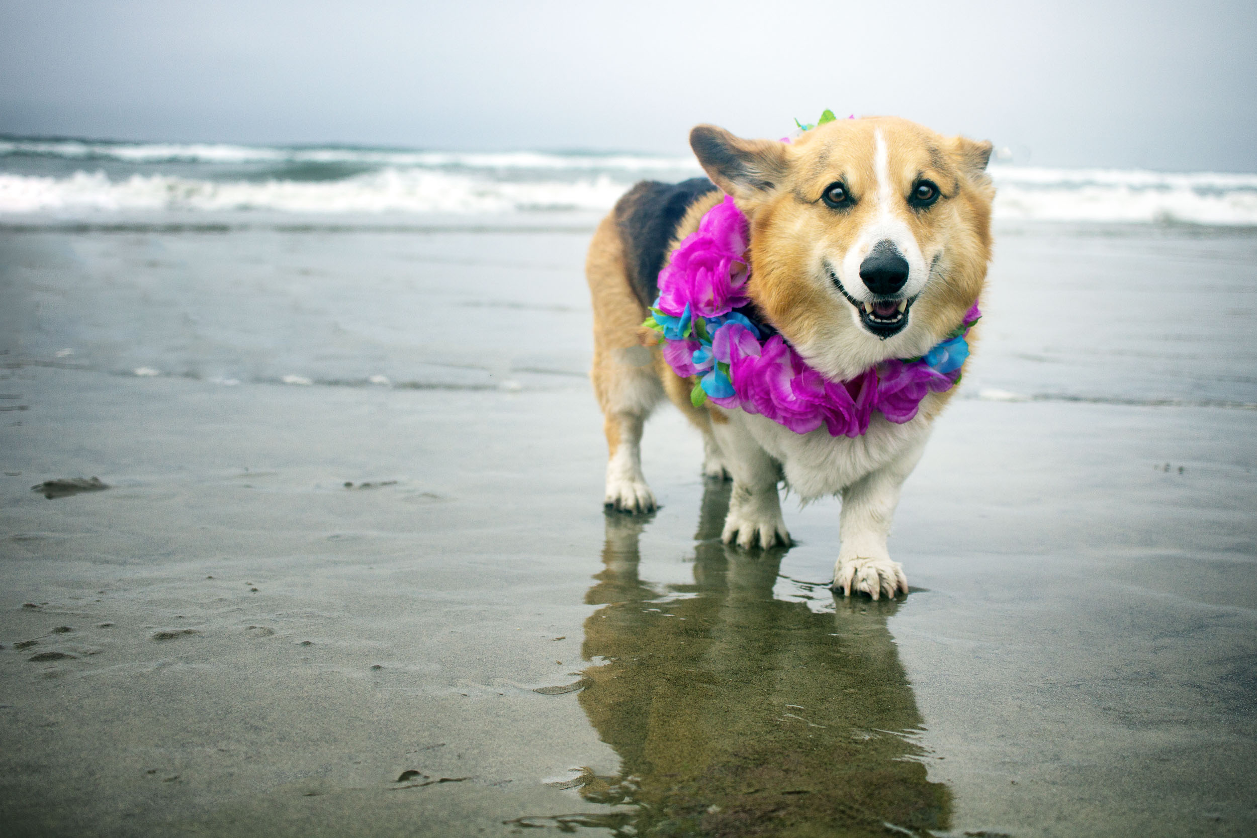 Orange-County-Dog-Photography-Pet-Huntington-Dog-Beach-SoCal-Corgi-Beach-Day_Steamer-Lee_050.JPG