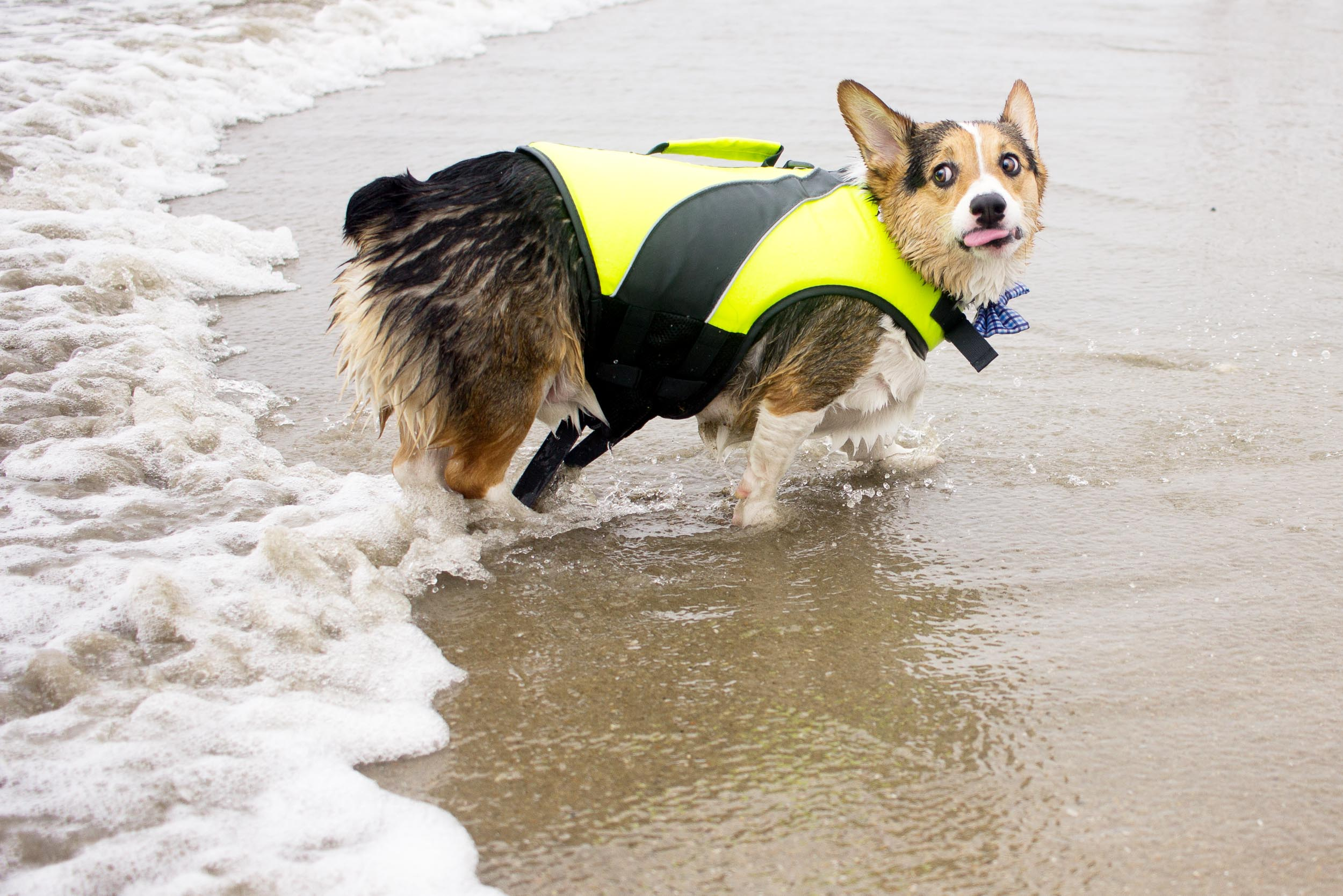 Orange-County-Dog-Photography-Pet-Huntington-Dog-Beach-SoCal-Corgi-Beach-Day_Steamer-Lee_059.JPG