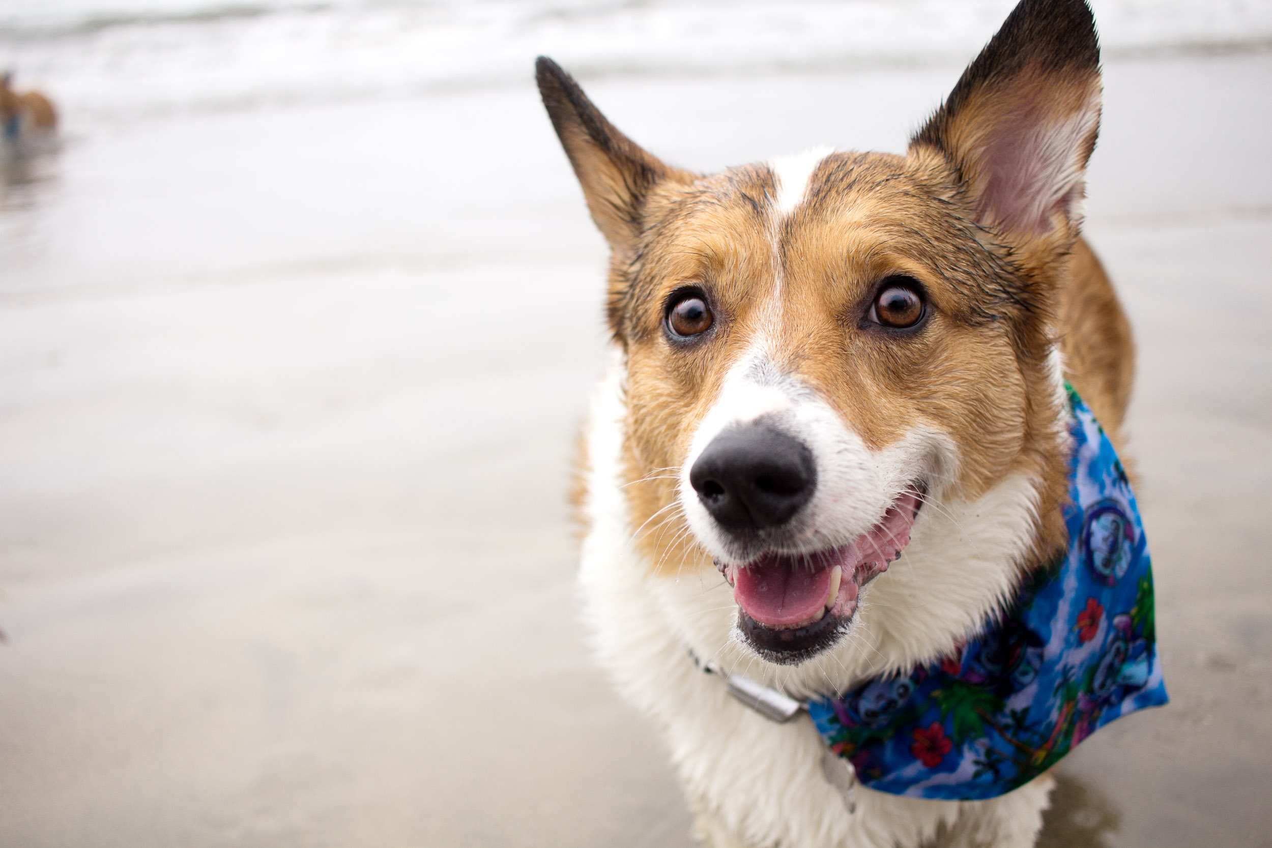Orange-County-Dog-Photography-Pet-Huntington-Dog-Beach-SoCal-Corgi-Beach-Day_Steamer-Lee_062.JPG
