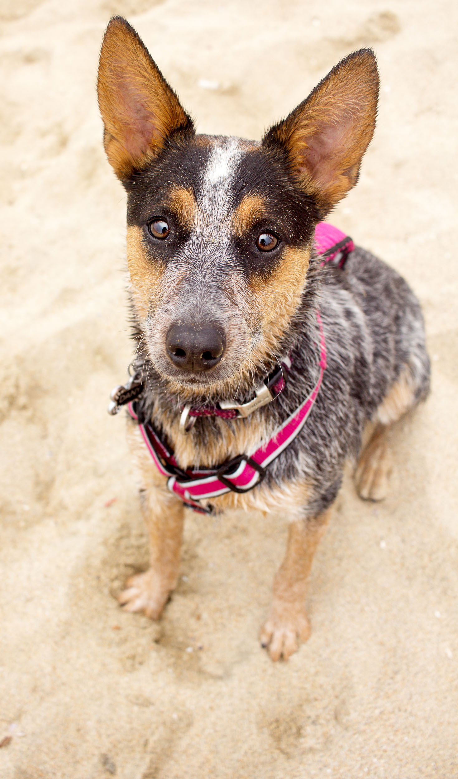 Orange-County-Dog-Photography-Pet-Huntington-Dog-Beach-SoCal-Corgi-Beach-Day_Steamer-Lee_075.JPG