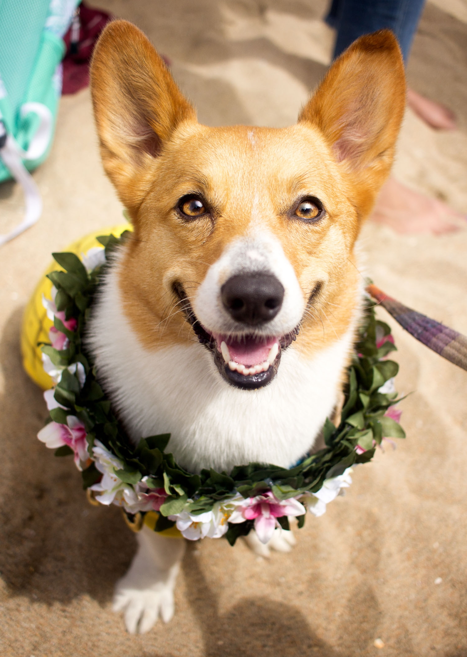 Orange-County-Dog-Photography-Pet-Huntington-Dog-Beach-SoCal-Corgi-Beach-Day_Steamer-Lee_032.JPG