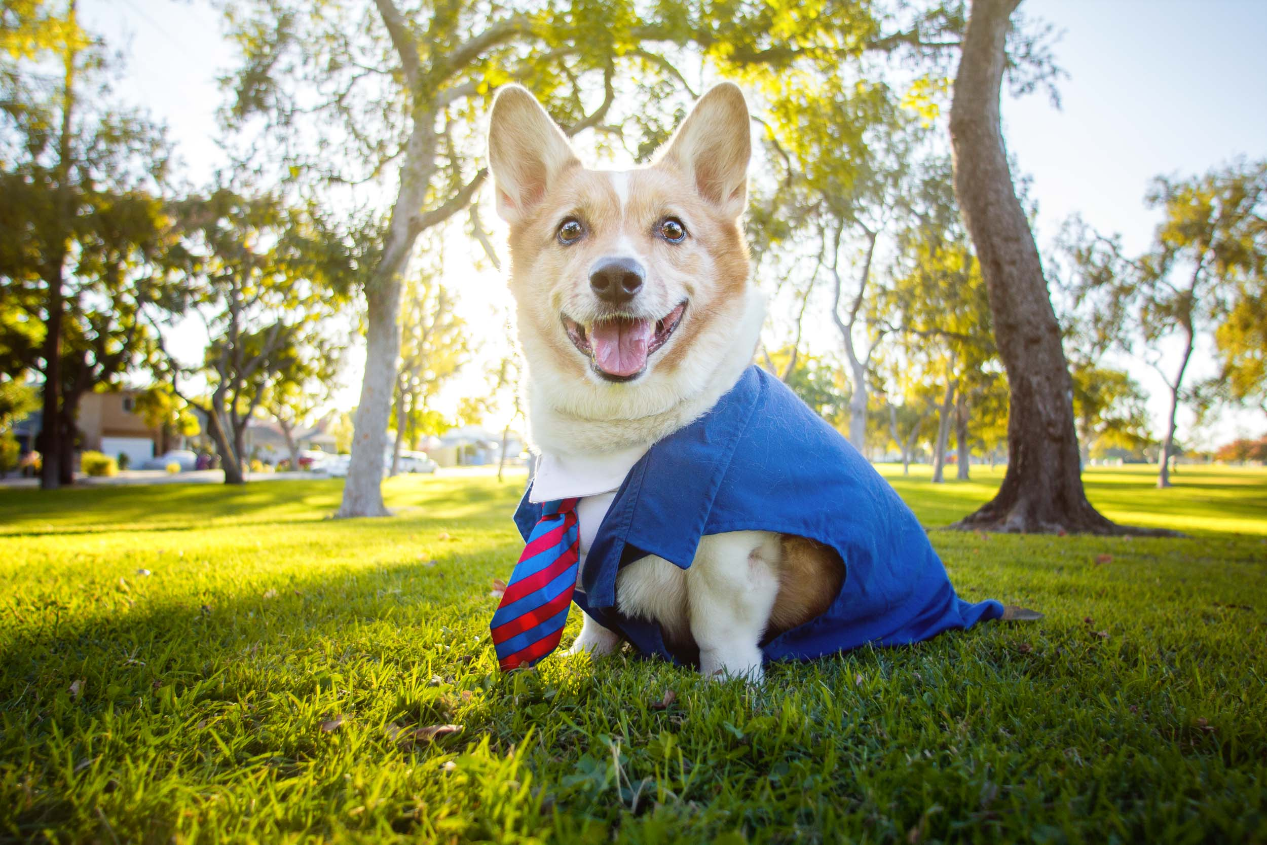 Mr. Pickles, the founder of So Cal Corgi Beach Day, is modeling for his business portraits.