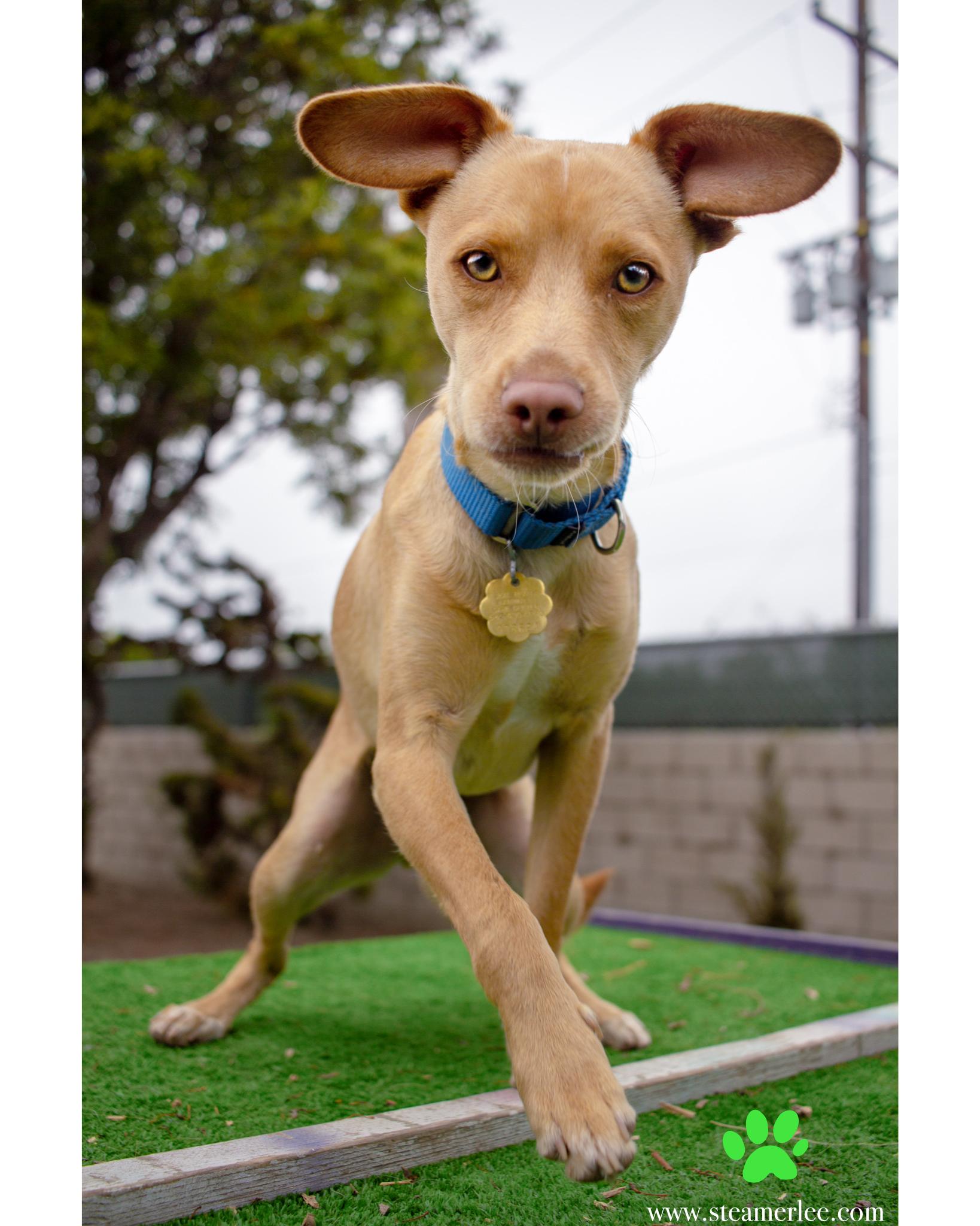 424-Orange-County-Dog-Photography-Steamer-Lee-Southern-California-SBACC.JPG