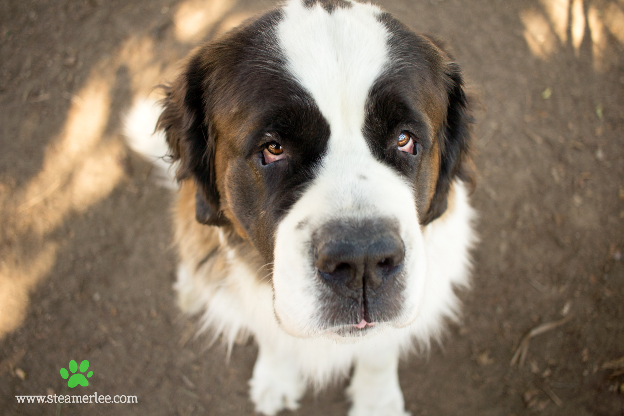 Honey was a St. Bernard who outlived her older brother, Tahoe; watched her sister Debra get adopted first, and went on to wait months and months until finally a family from Alaska rescued her from the hot Southern California weather to live where she's running around the snow like a puppy again.