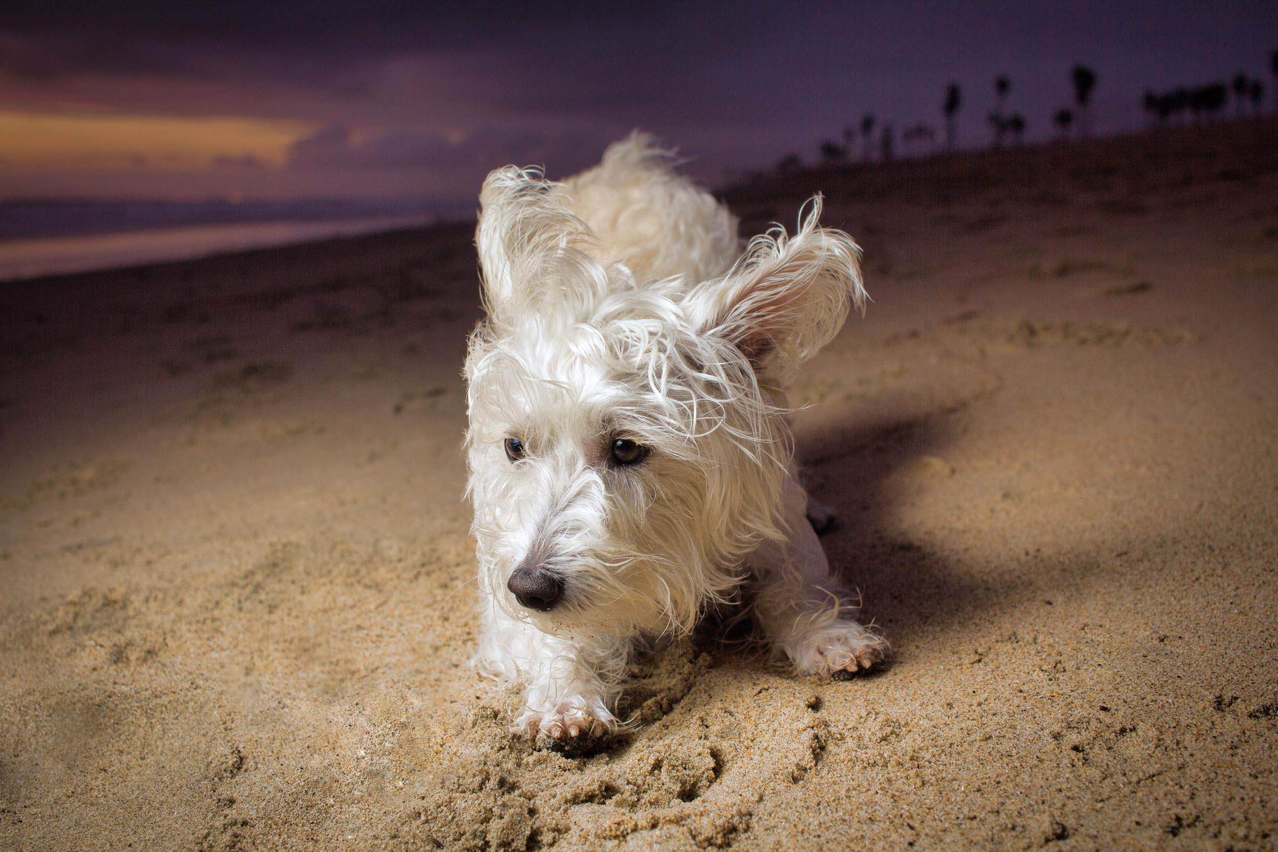 17-Orange-County-Dog-Photographer-Southern-California-Steamer-Lee.JPG