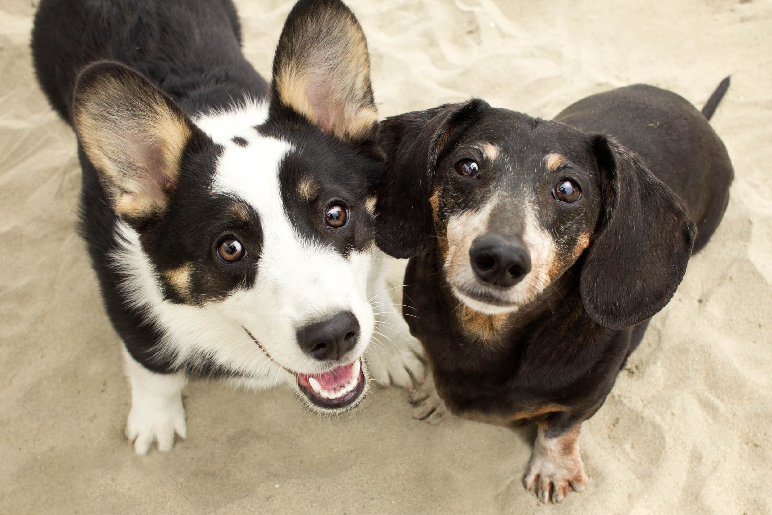 40-Orange-County-Dog-Photographer-Southern-California-Steamer-Lee.JPG