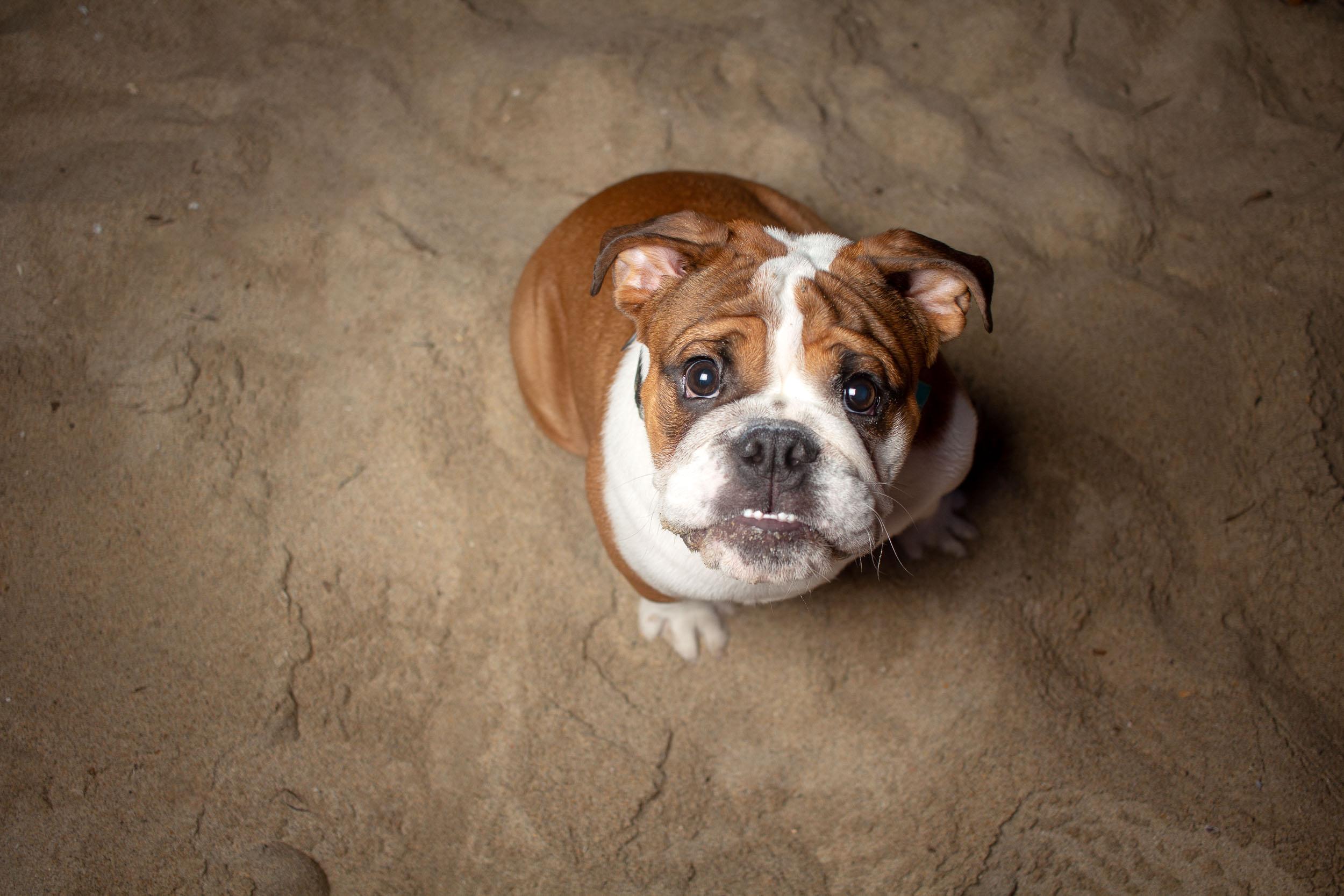 48-Orange-County-Dog-Photographer-Southern-California-Steamer-Lee.JPG