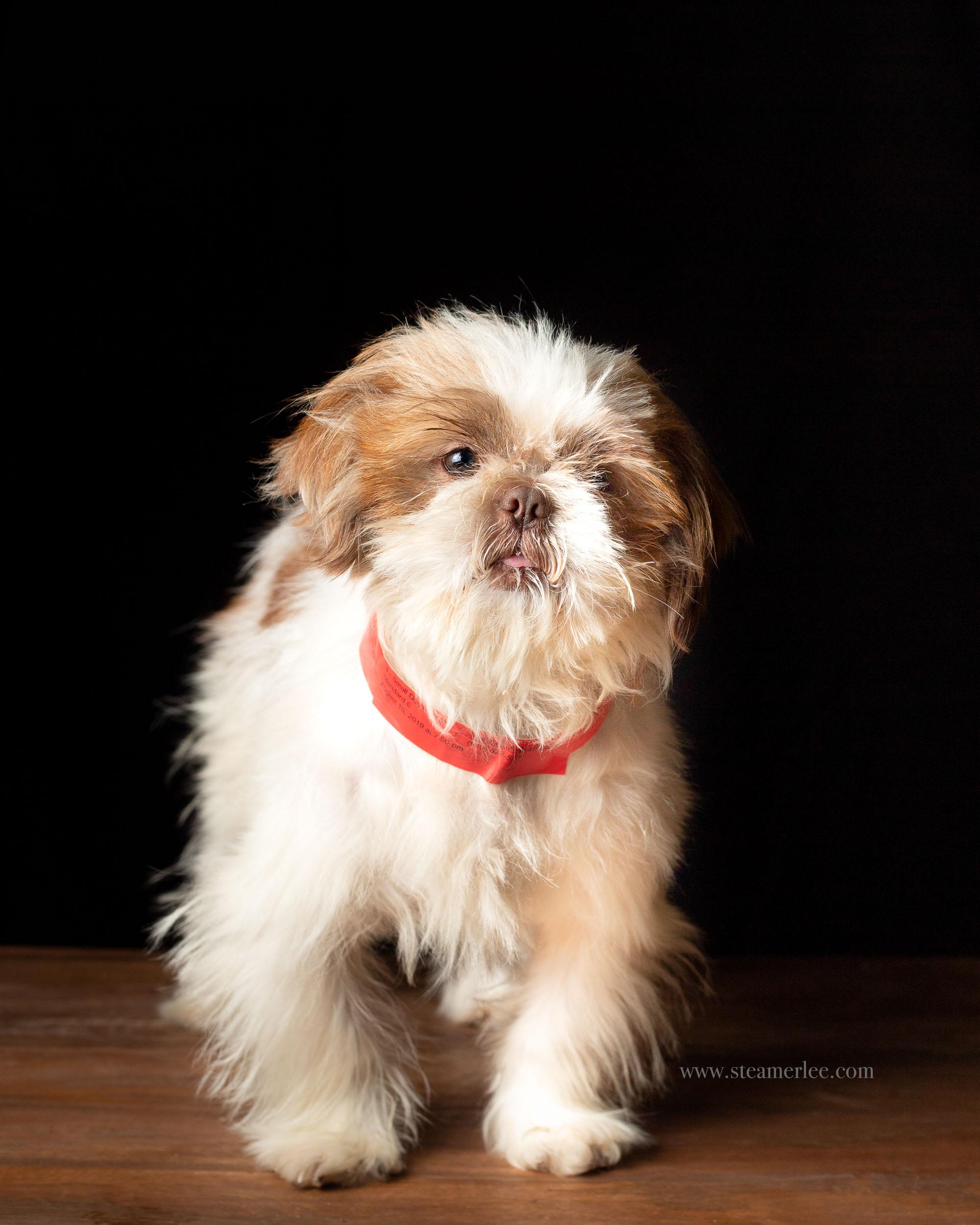 Gus-Shih-Tzu-Orange-County-Dog-Photography-by-Steamer-Lee-003.JPG