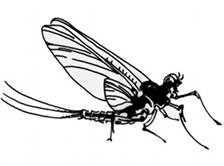 mayfly2.jpg