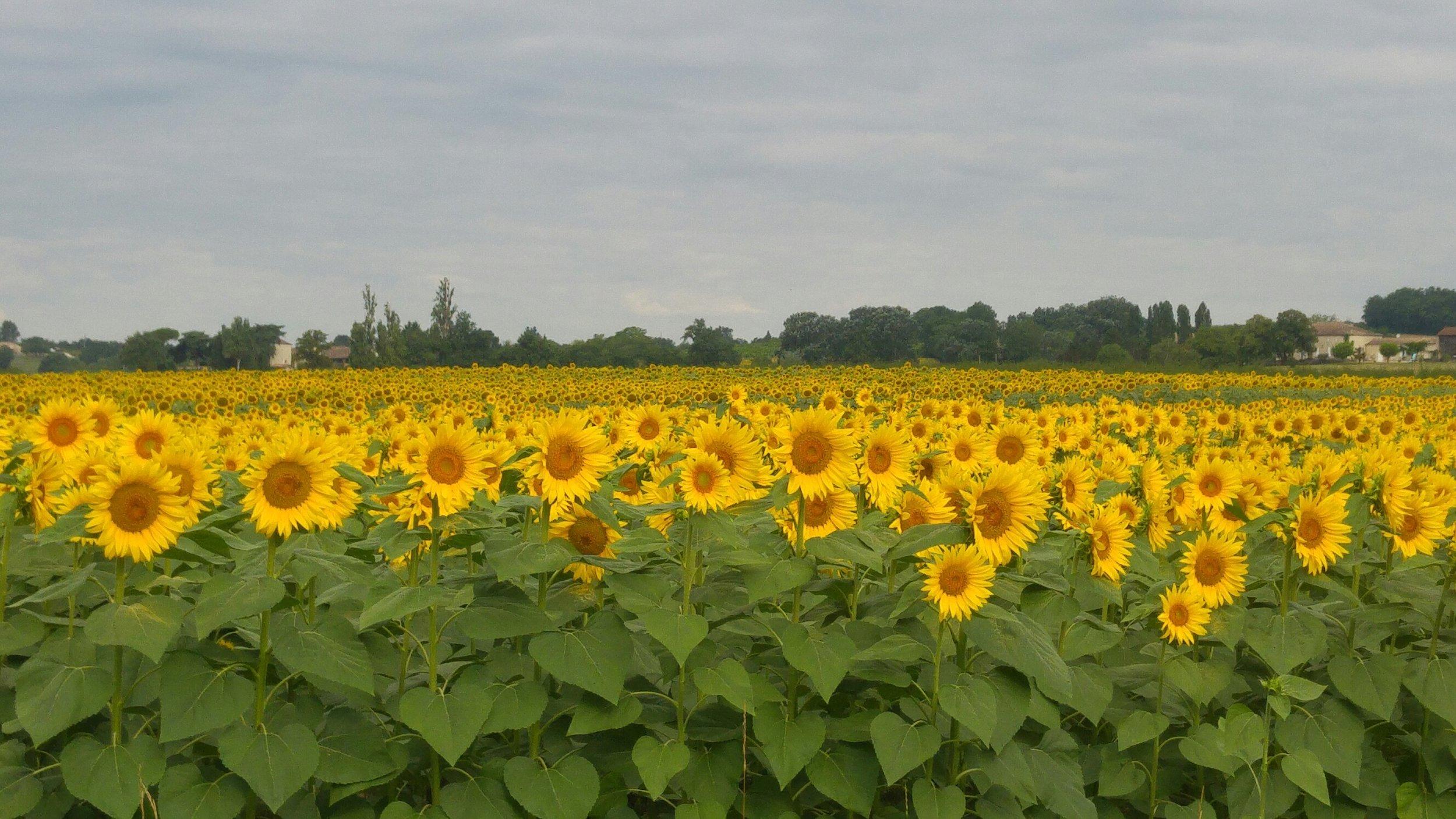 local Aquitaine sunflowers