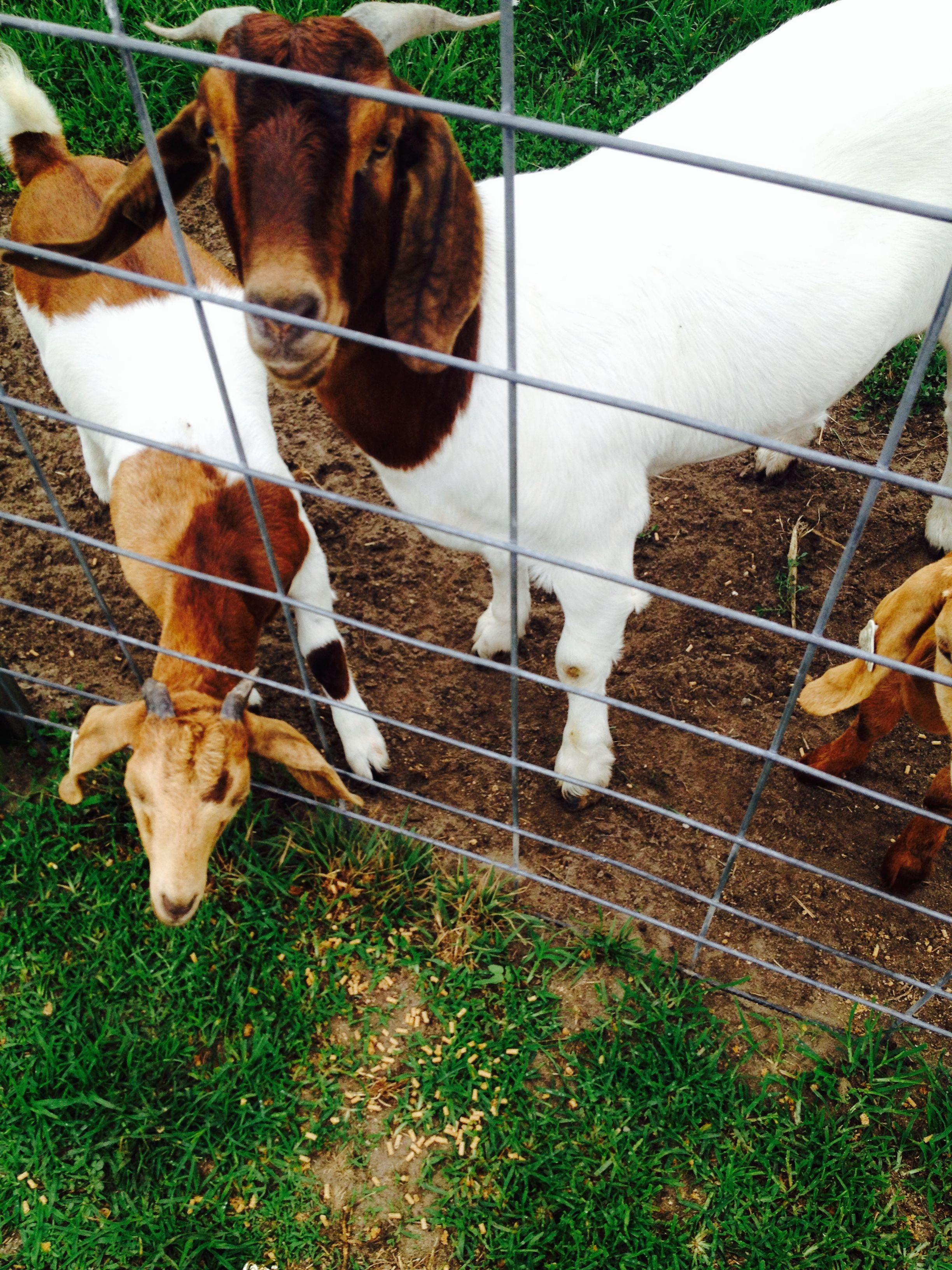 more goats.jpg