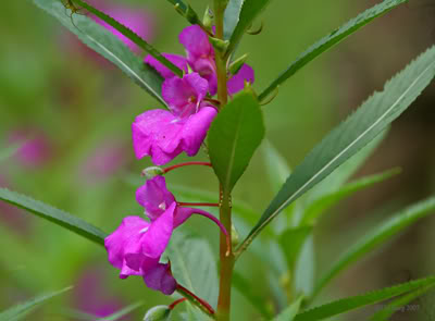 Impatiens Balsamina, photo Wikipedia