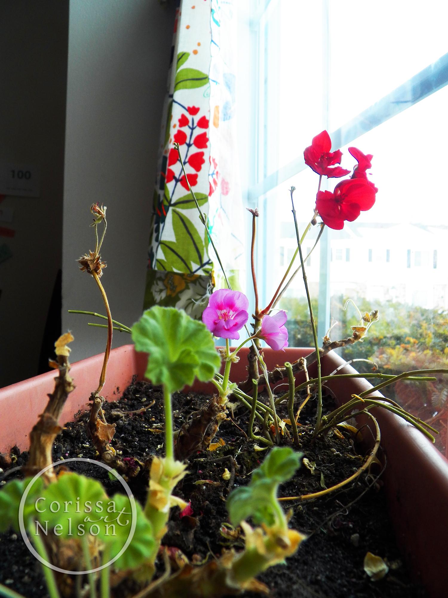 geraniums water.jpg