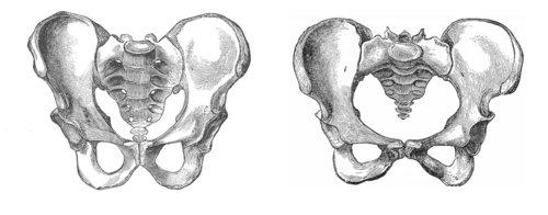 Male & Female Pelvis.jpeg