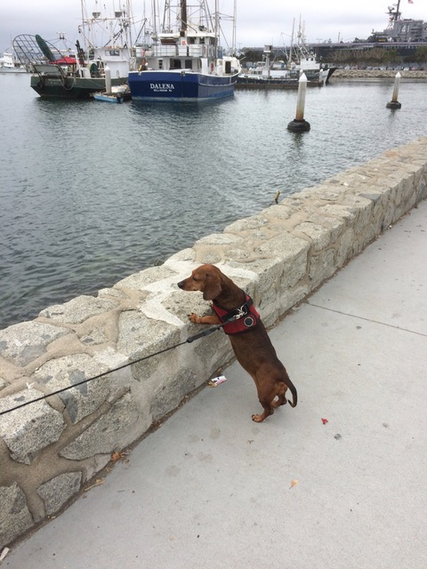 Saylor, checking out the San Diego harbor, and enjoying the view. Such a dog's life!