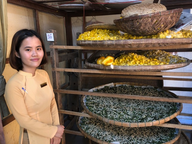 Raw silk worms are being grown as part of the processing of raw silk in HoiAn.