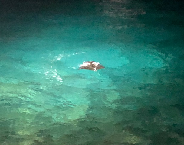 """A most amazing exclamation point: watching for manta rays at """"Rays on the Bay,"""" we almost gave up after watching for 30 minutes and seeing nothing, and THEN: this guy showed up and gave us a 10-minute """"dance recital."""" We were mesmerized."""