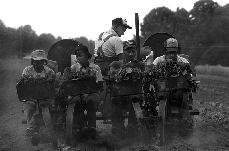 Jim Smyre and Family Setting Tobacco, Harmony, NC