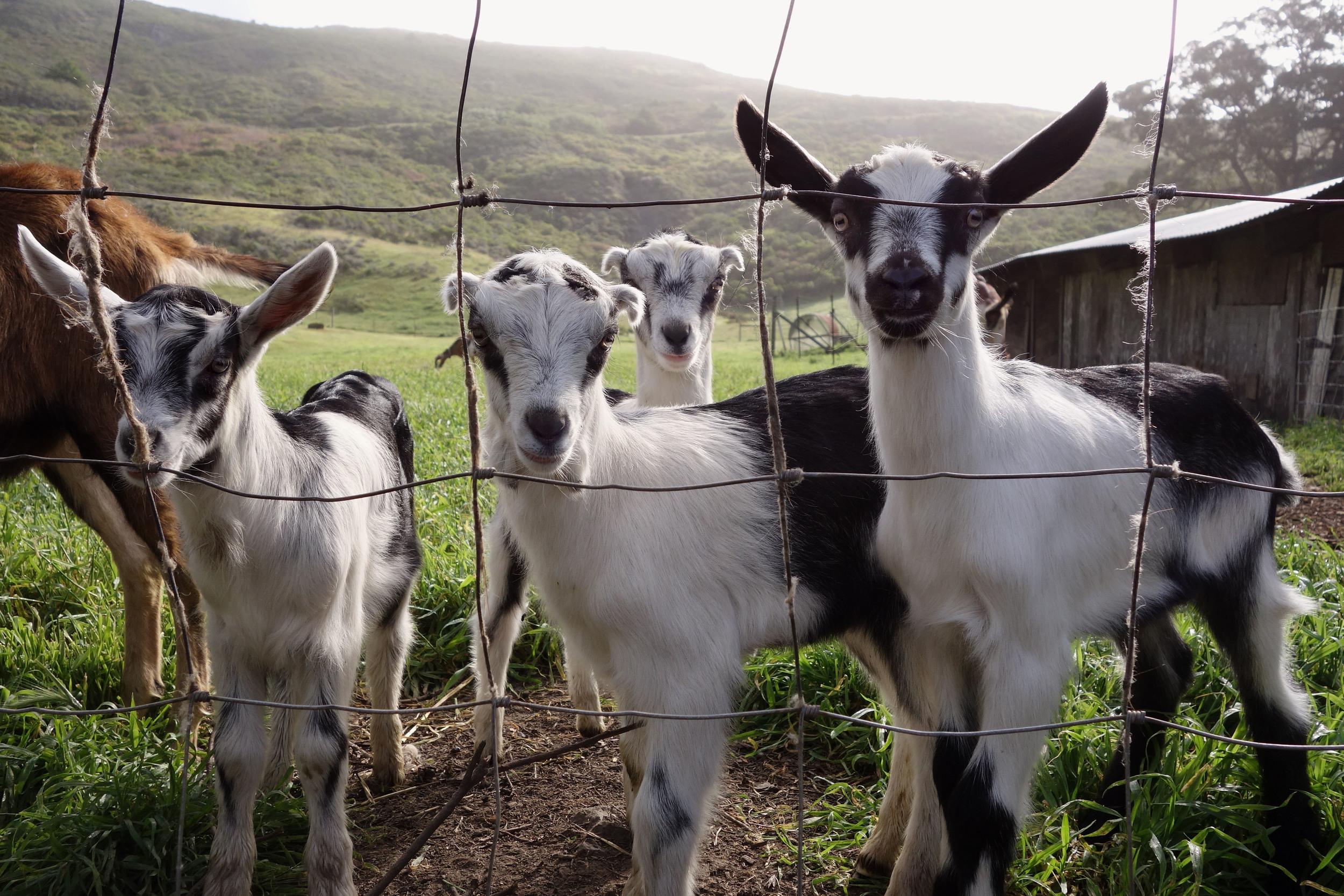 goat trio.jpg