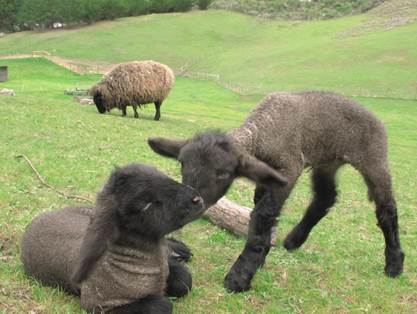 Missed seeing the baby lambs at Sheep to Shawl?   Come out for Spring Fling on April 25th . There will be sheep shearing, music, food, crafts, hiking, cooking and animal care for the whole family to explore.